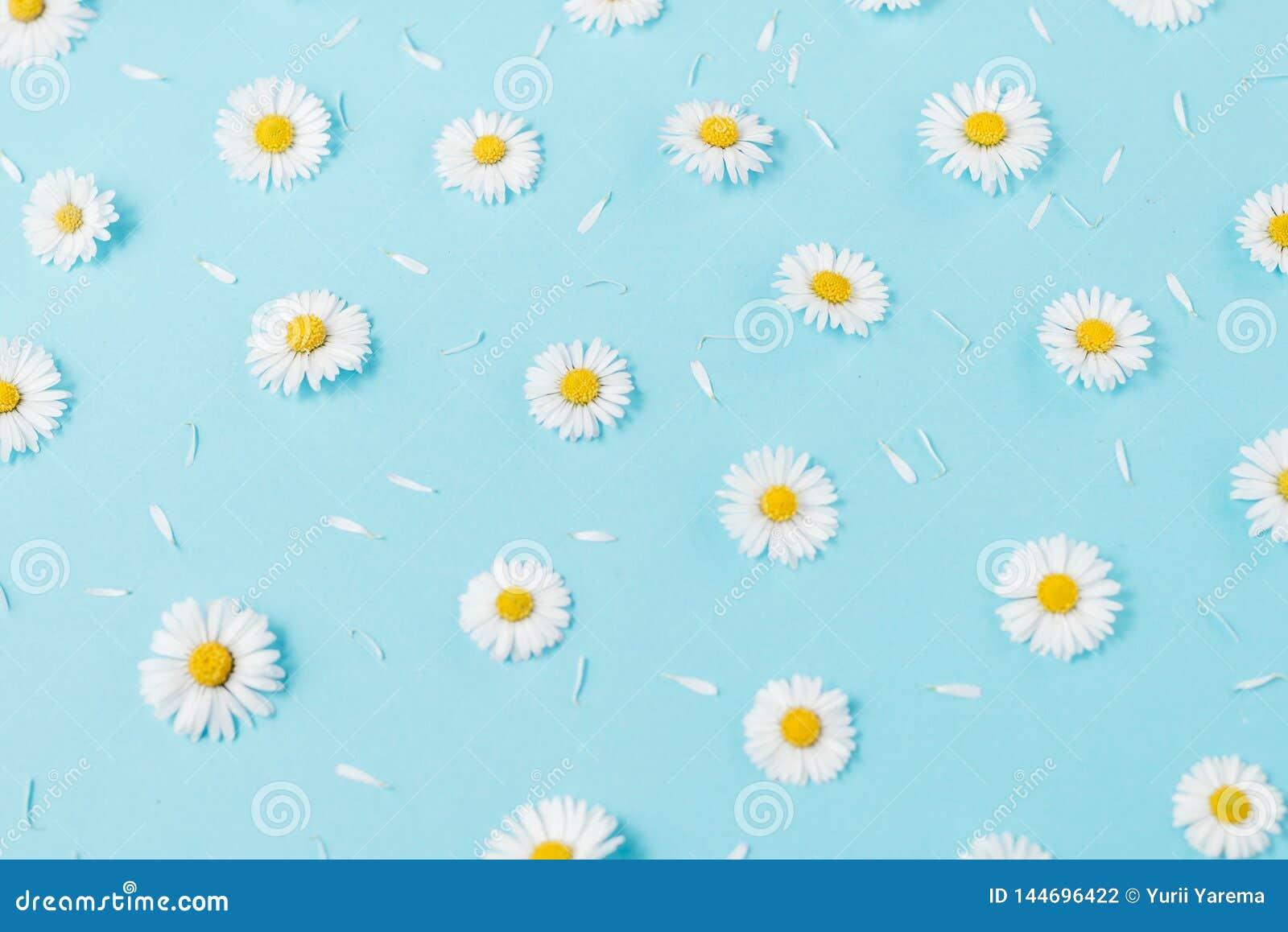 Florece la composici?n Modelo hecho de las manzanillas, p?talos en fondo azul en colores pastel Primavera, concepto del verano