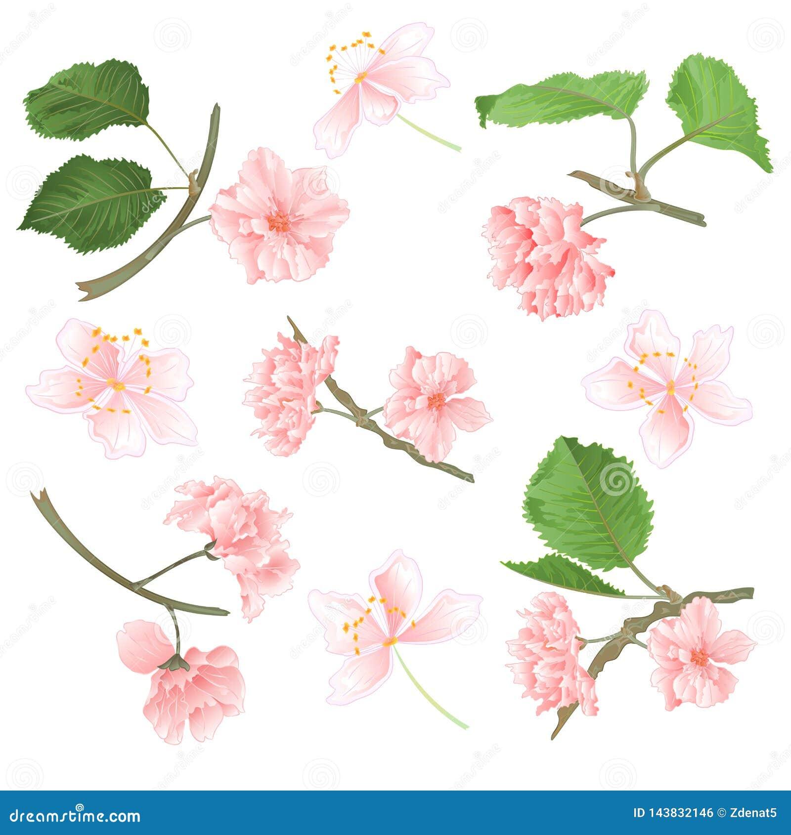 Florece Sakura fijado en un ejemplo natural del fondo del vector blanco del vintage editable
