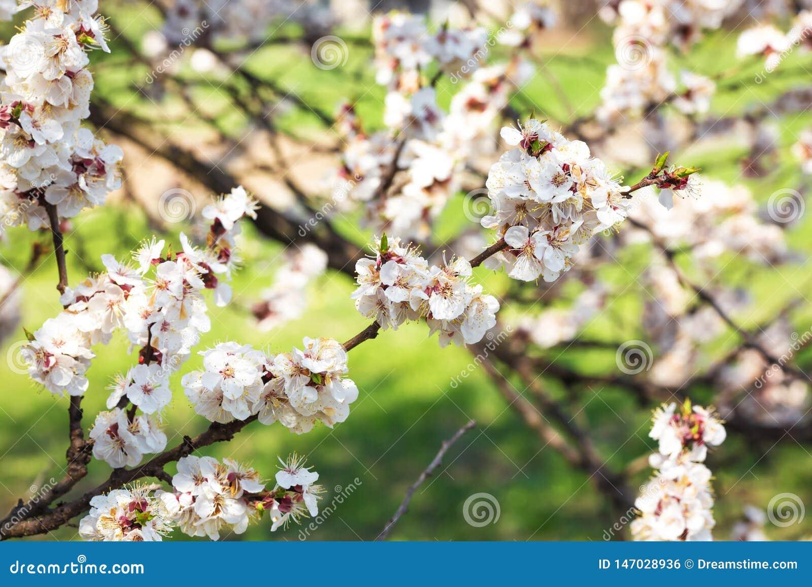 Florecimiento de la primavera de ?rboles