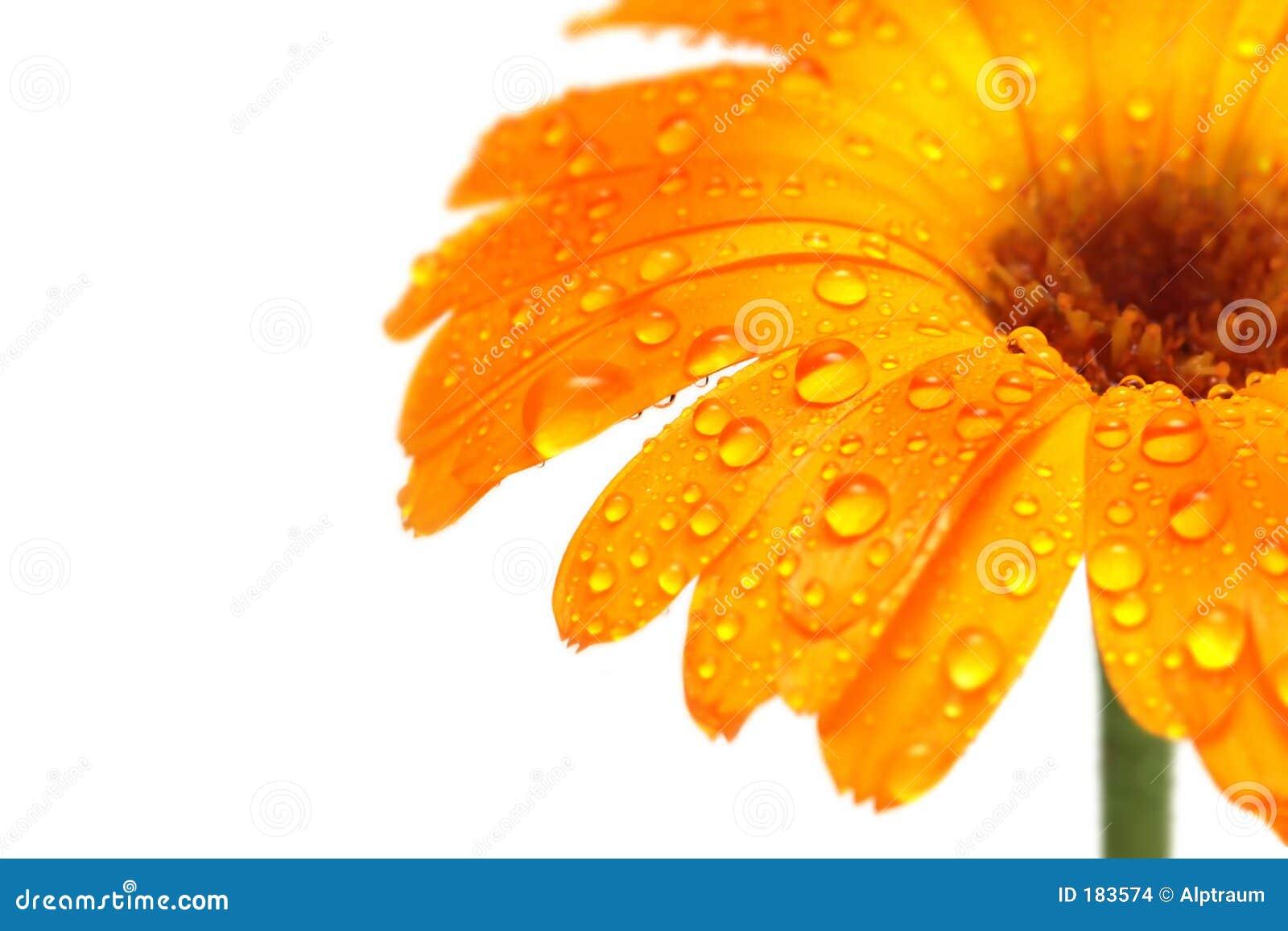 Floresça o macro com gotas de água