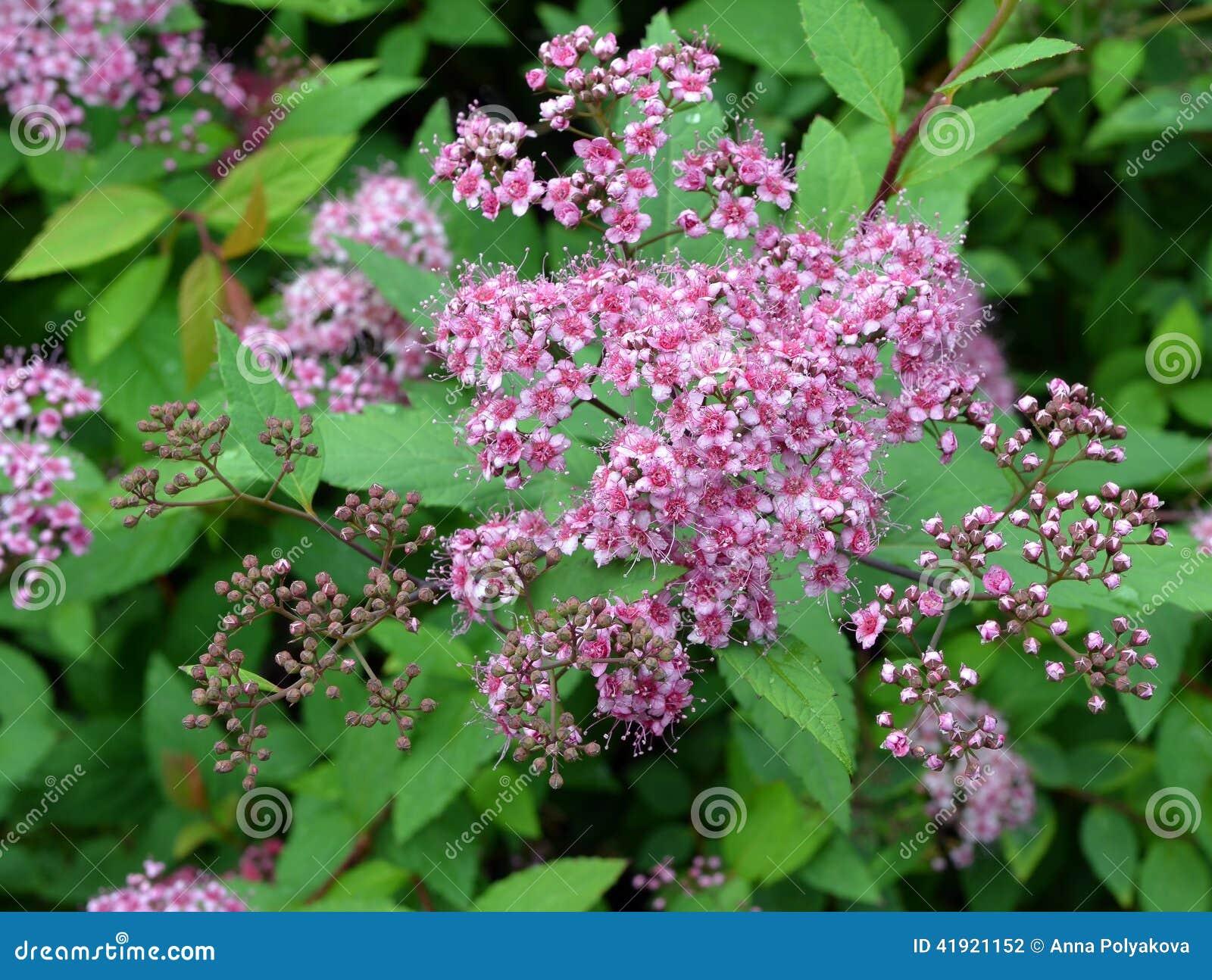 Flores abstractas del meadowsweet del fondo
