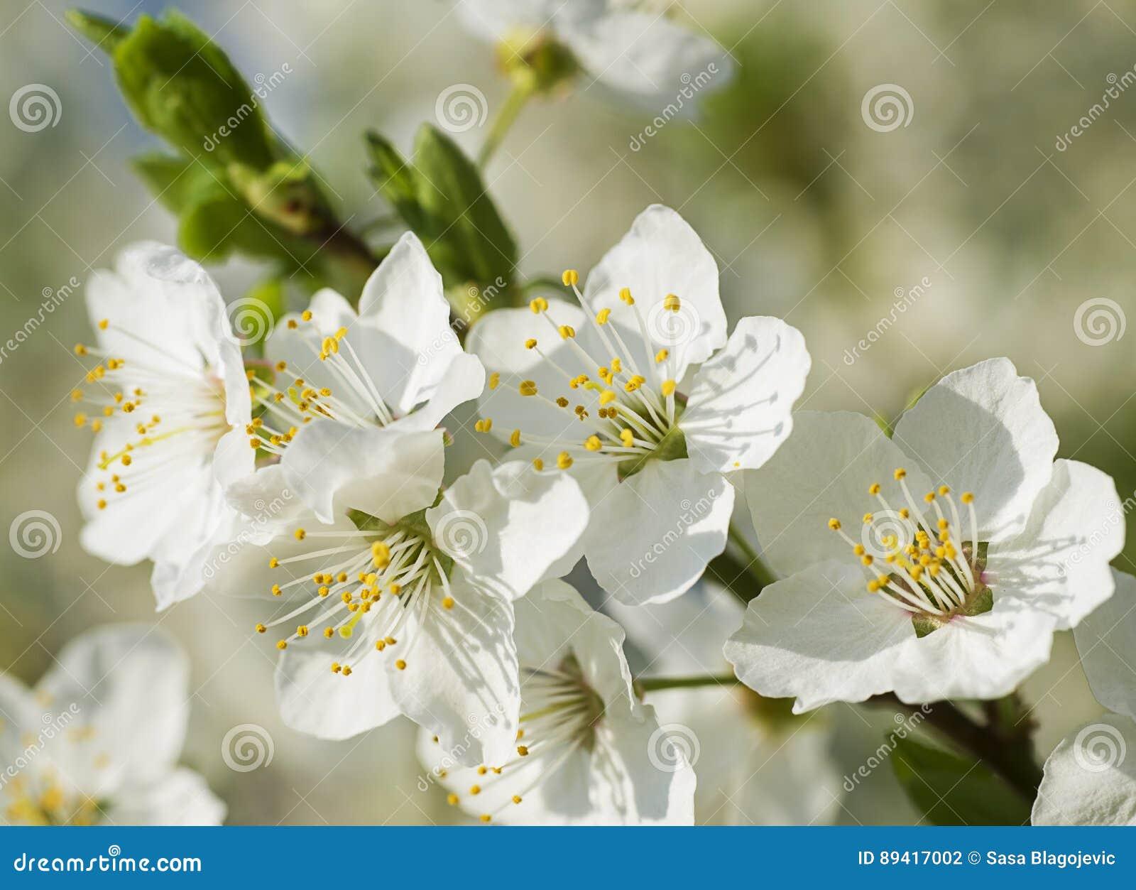Flores agradáveis da ameixa