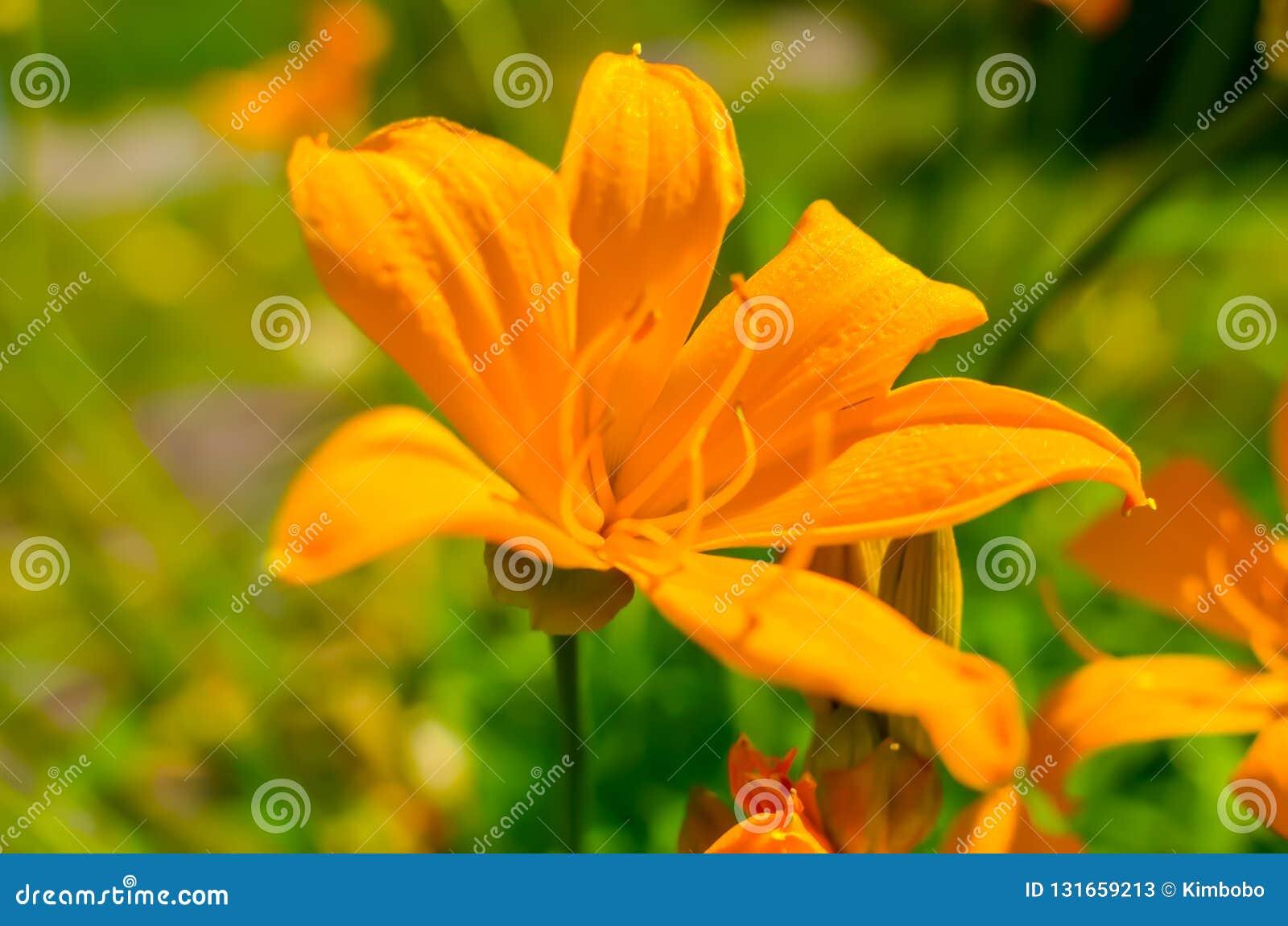 Flores alaranjadas bonitas no jardim do verão, papel de parede do lírio