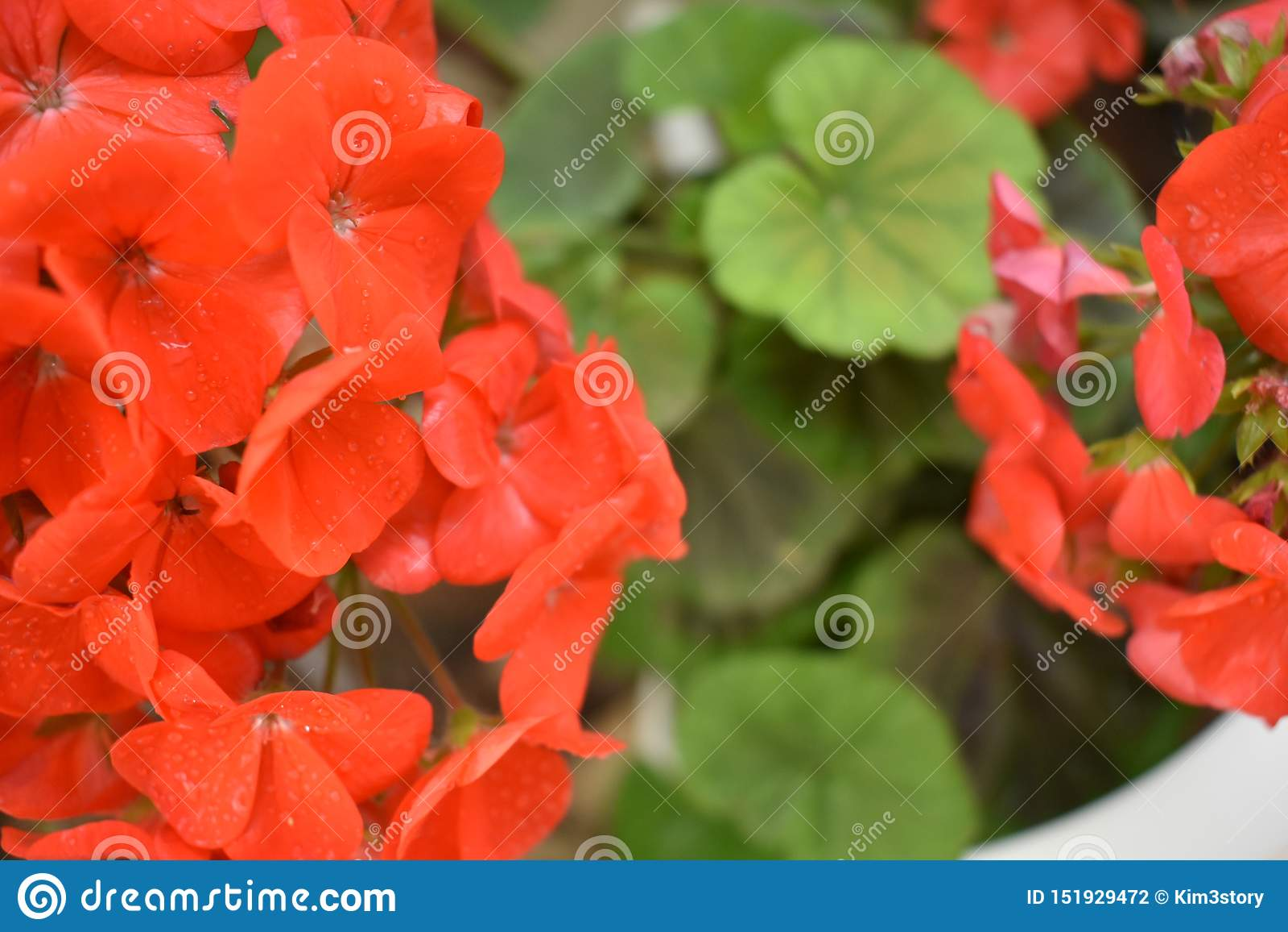 Flores alaranjadas chuvosas