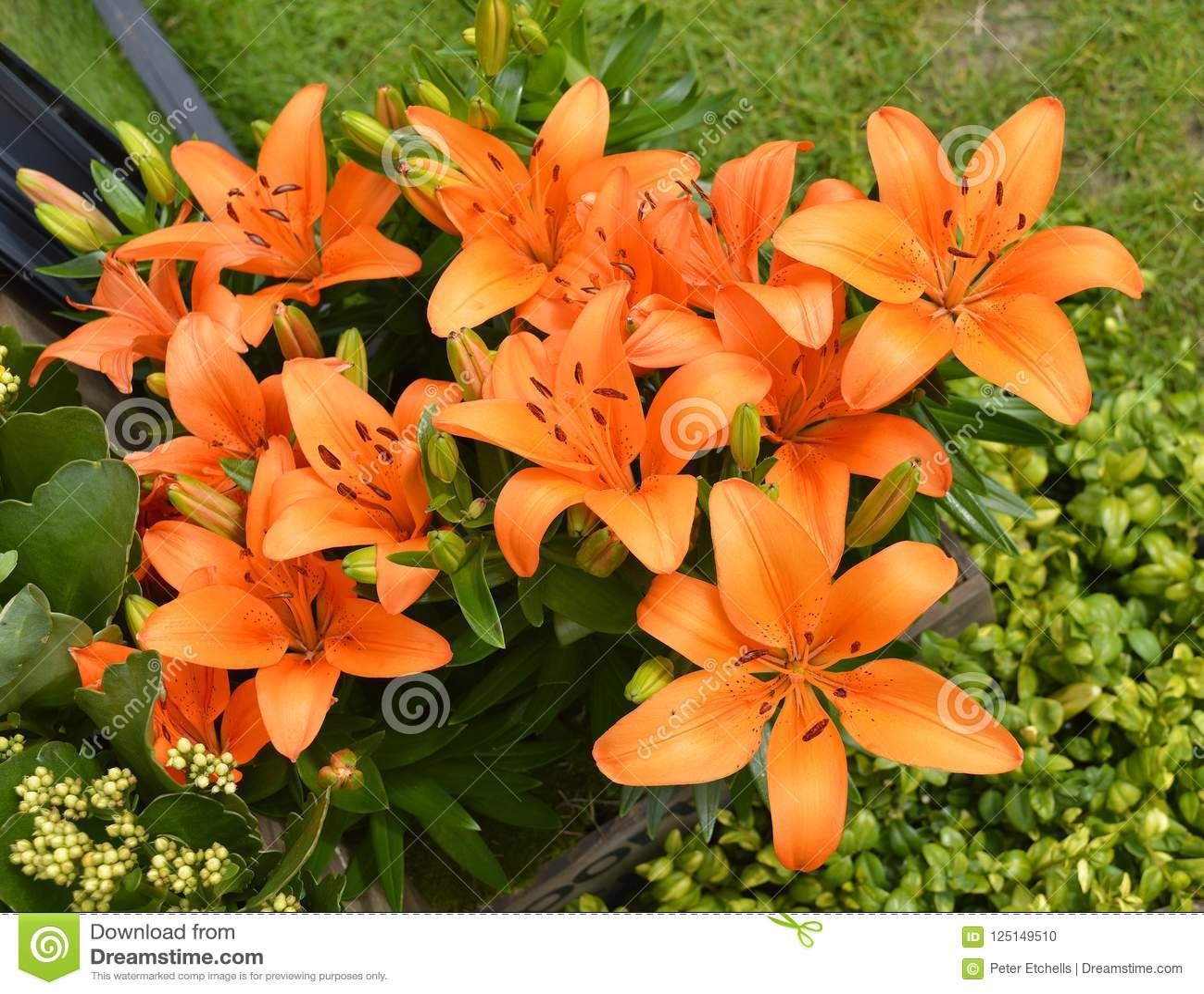 Flores alaranjadas do duende do Lilium