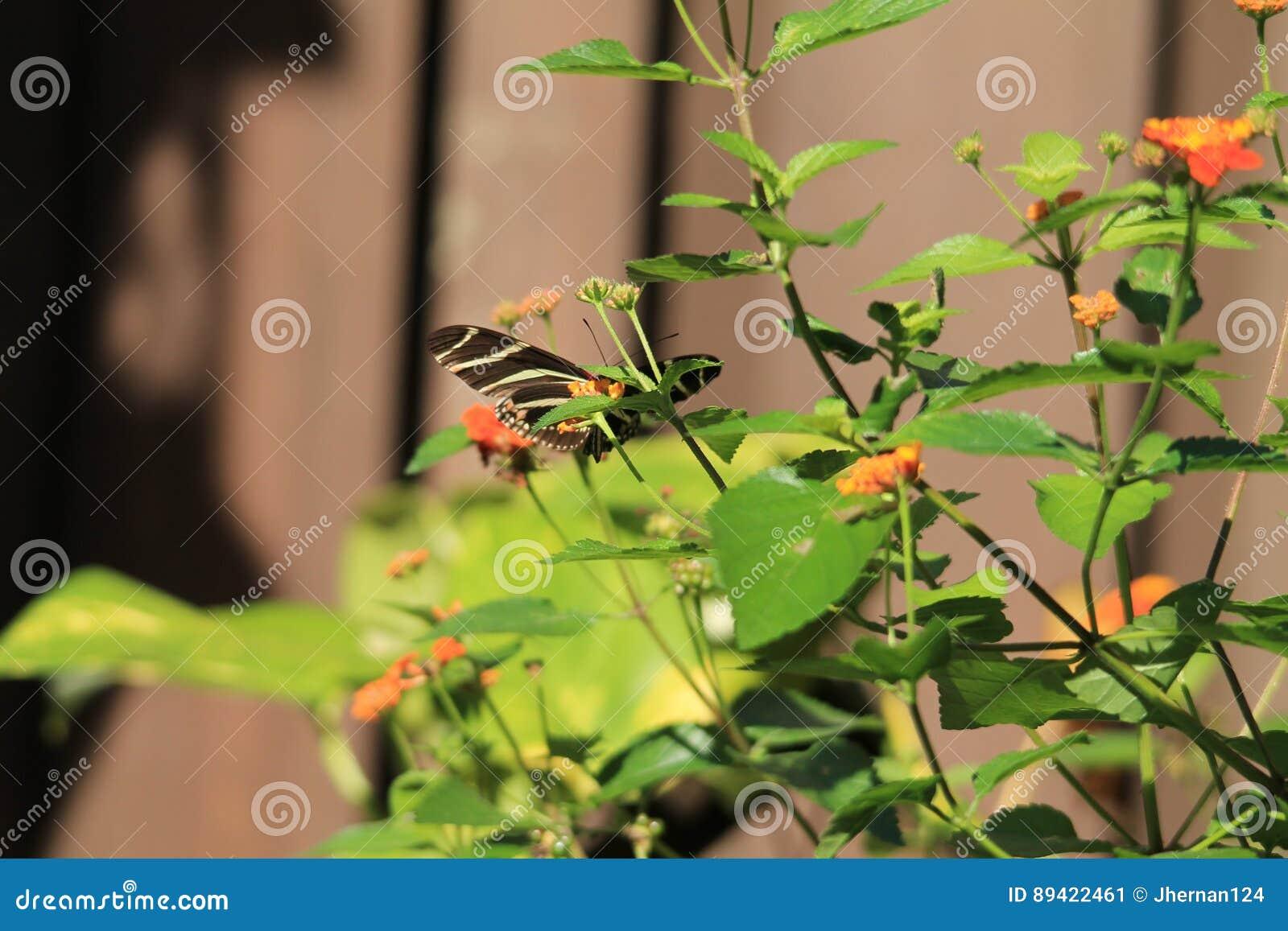 Flores alaranjadas e amarelas da borboleta