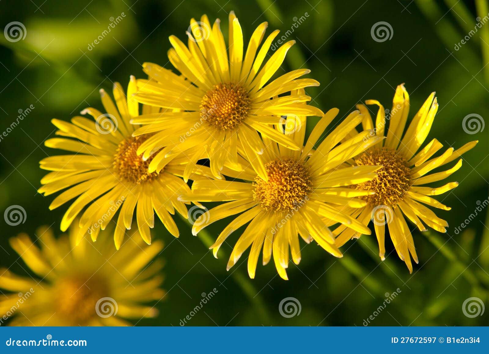 jardim rosas amarelas : jardim rosas amarelas:Flores Amarelas Fotografia de Stock Royalty Free – Imagem: 27672597