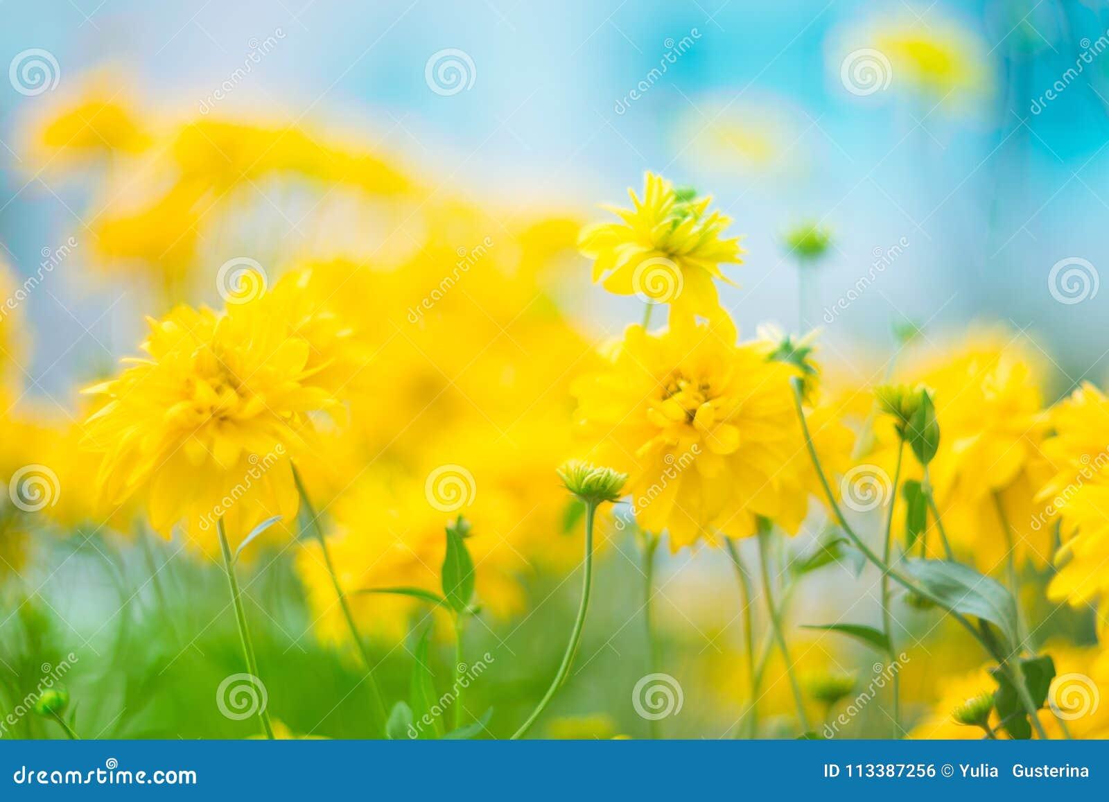 Flores amarelas bonitas com um foco muito macio no fundo do céu ciano Imagem artística, fundo floral natural com