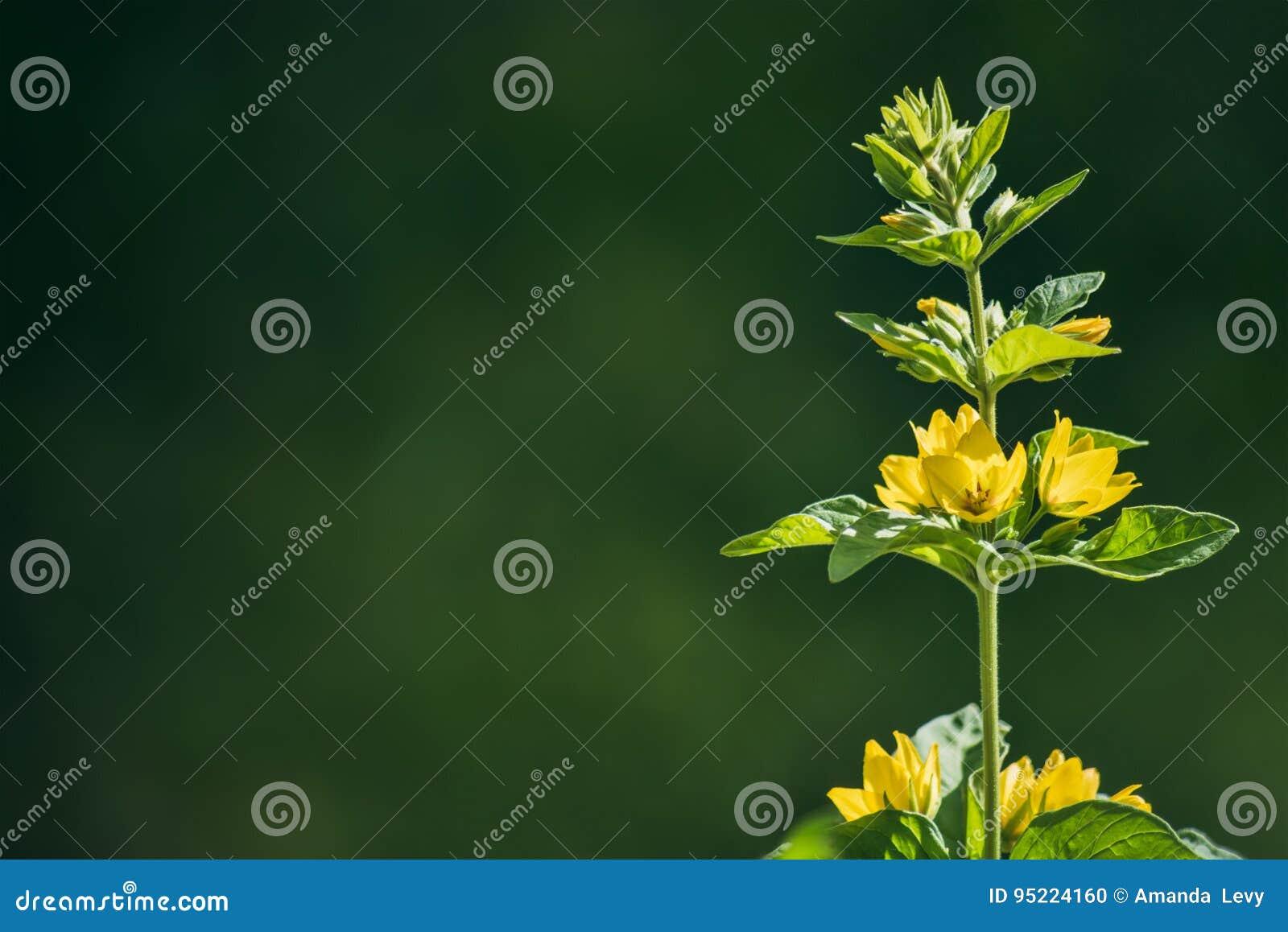 Flores amarelas brilhantes em uma obscuridade - fundo verde