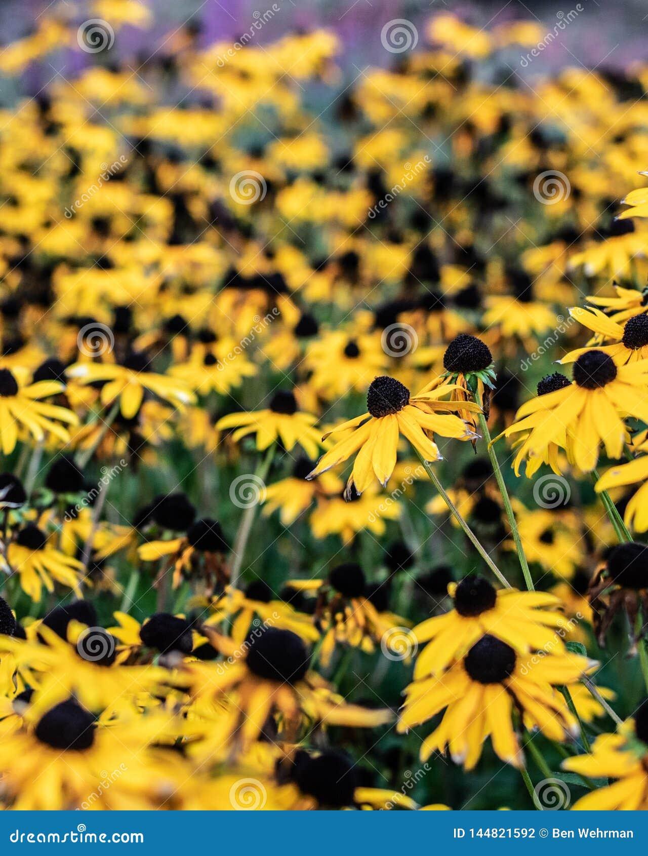 Flores amarelas da primavera