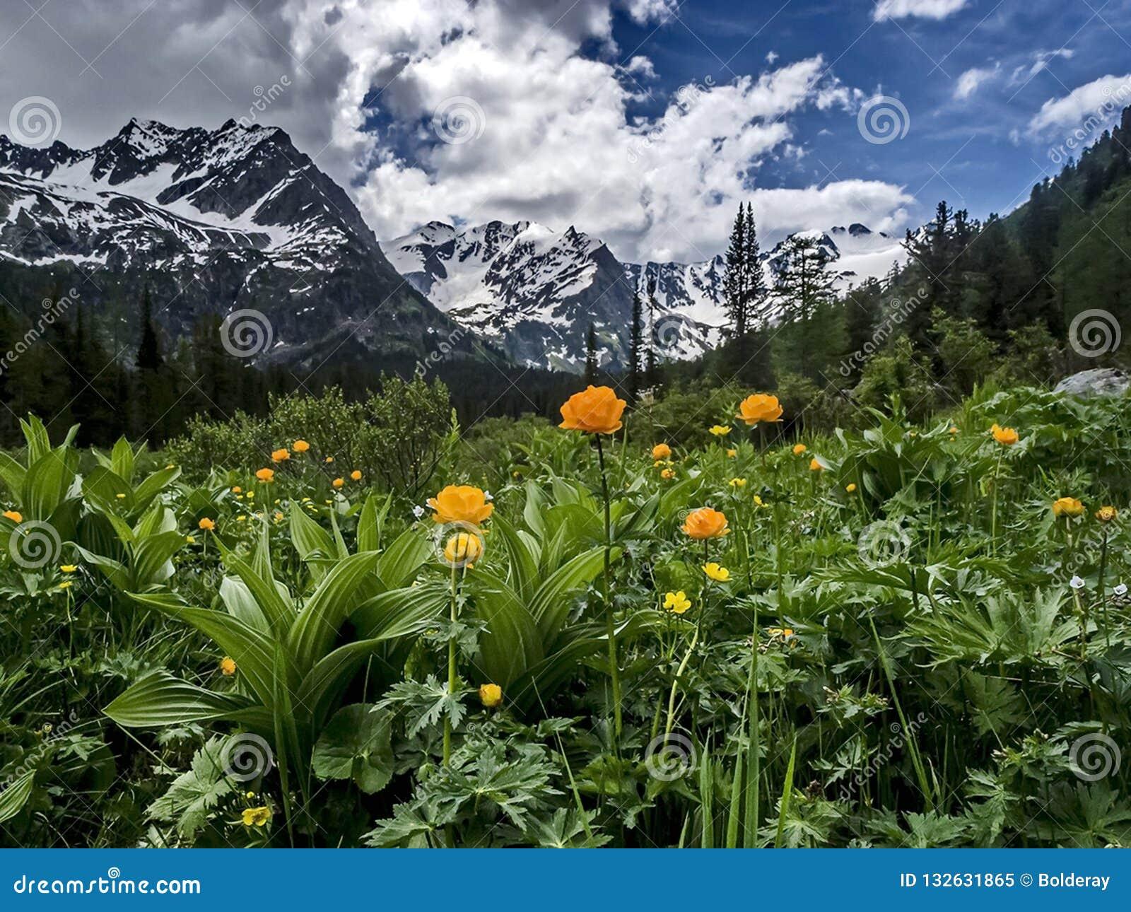 Flores amarelas do campo contra montanhas e lago da montanha Vale da flor Reflexão de montanhas neve-tampadas na água do lago