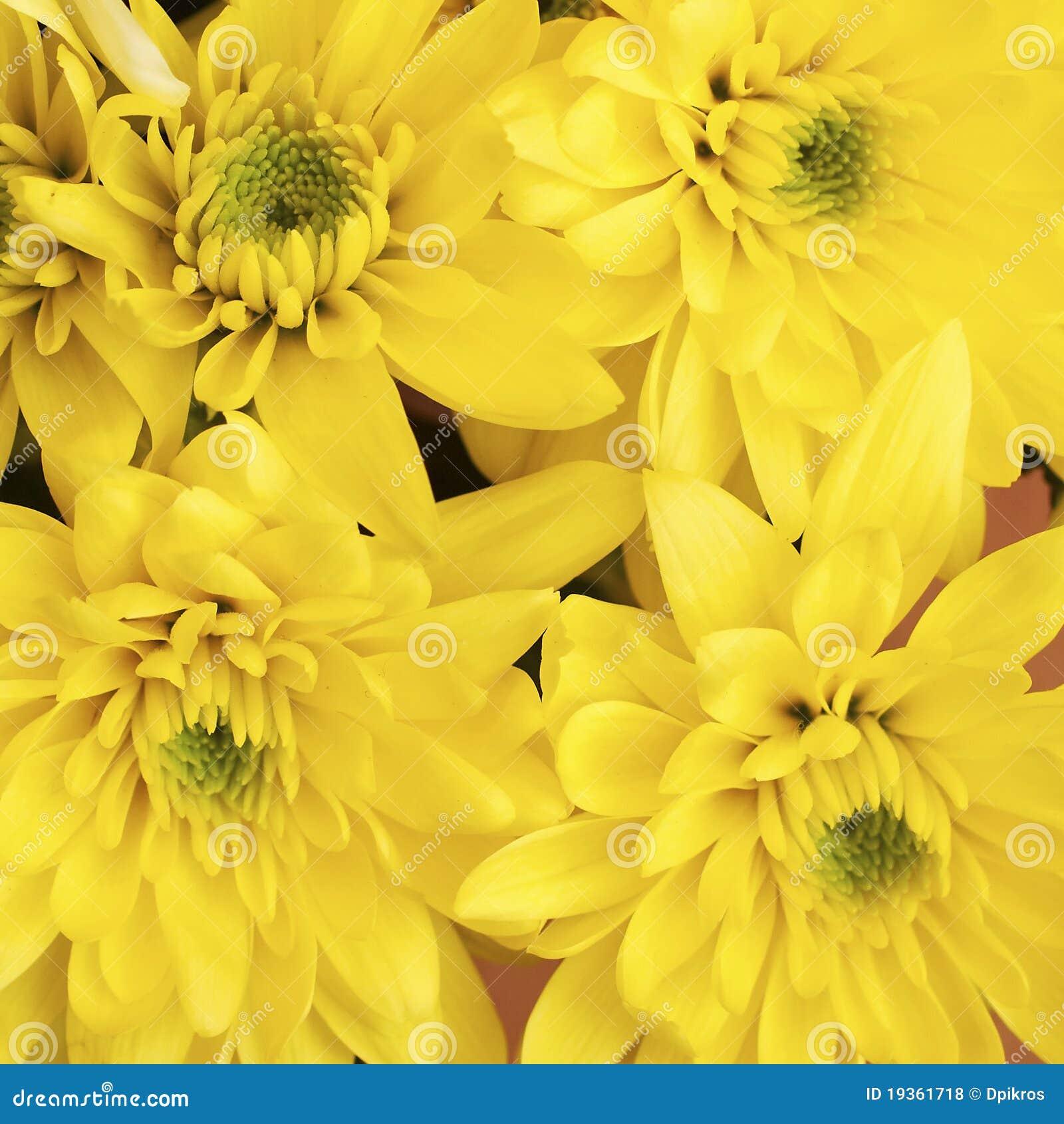 Flores amarelas do crisântemo