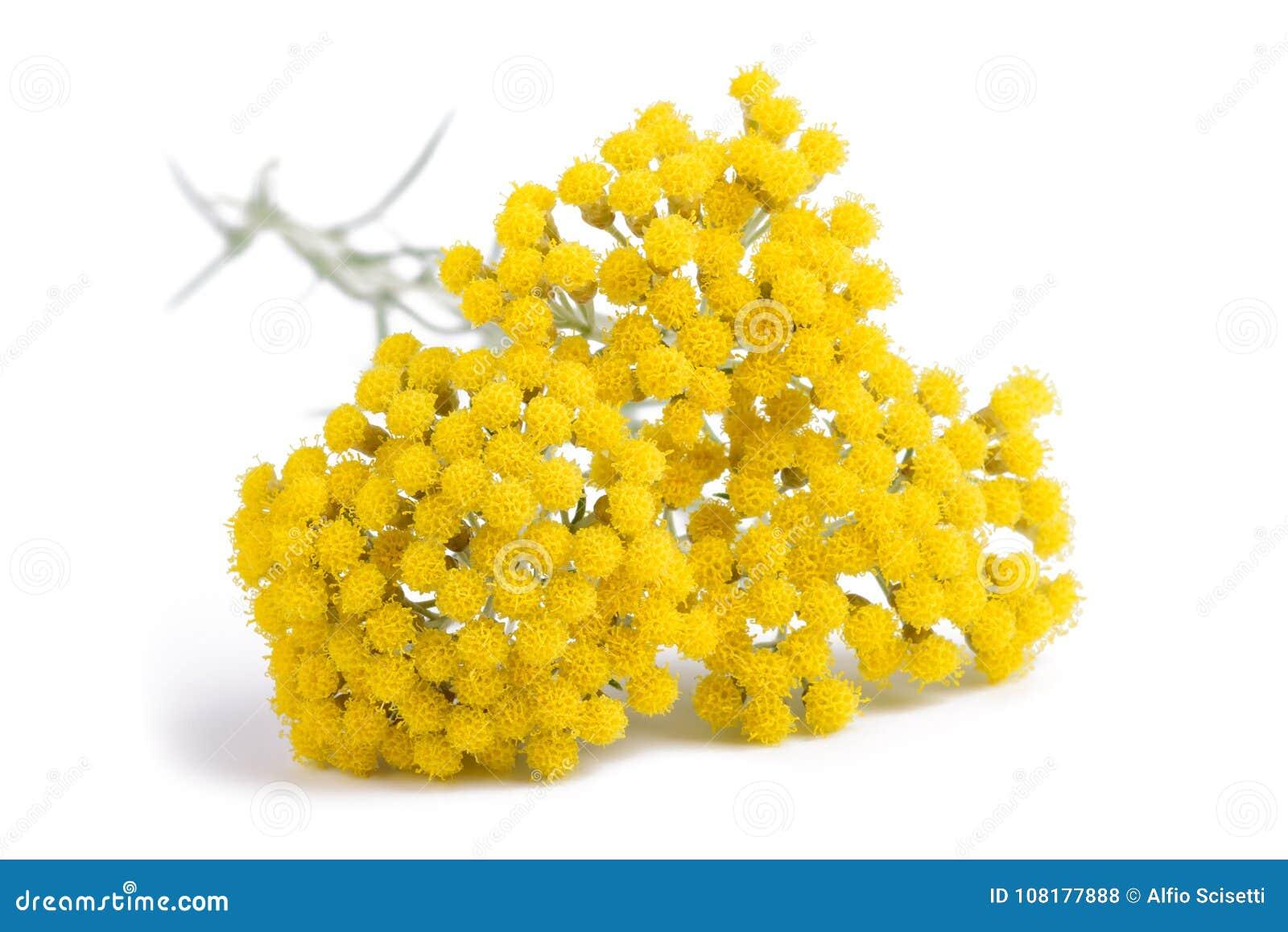 Flores amarelas do helichrysum