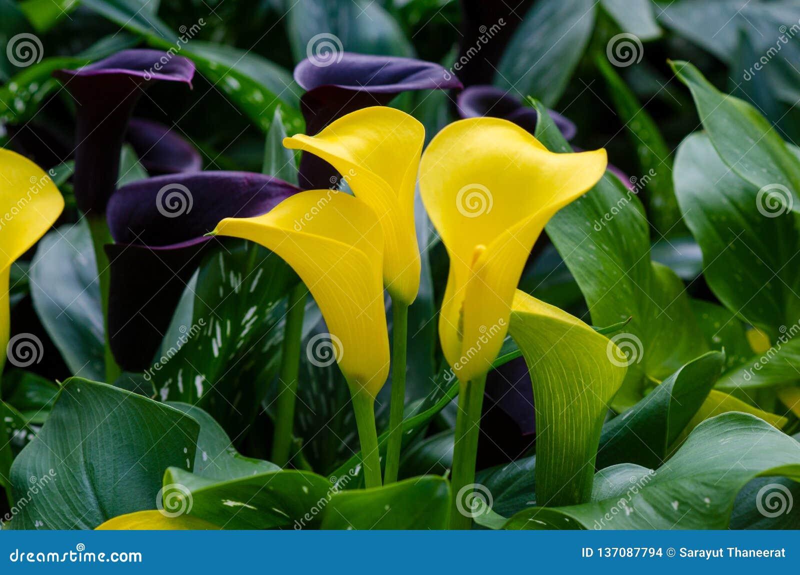 Flores amarelas do lírio de Calla três no jardim luxúria