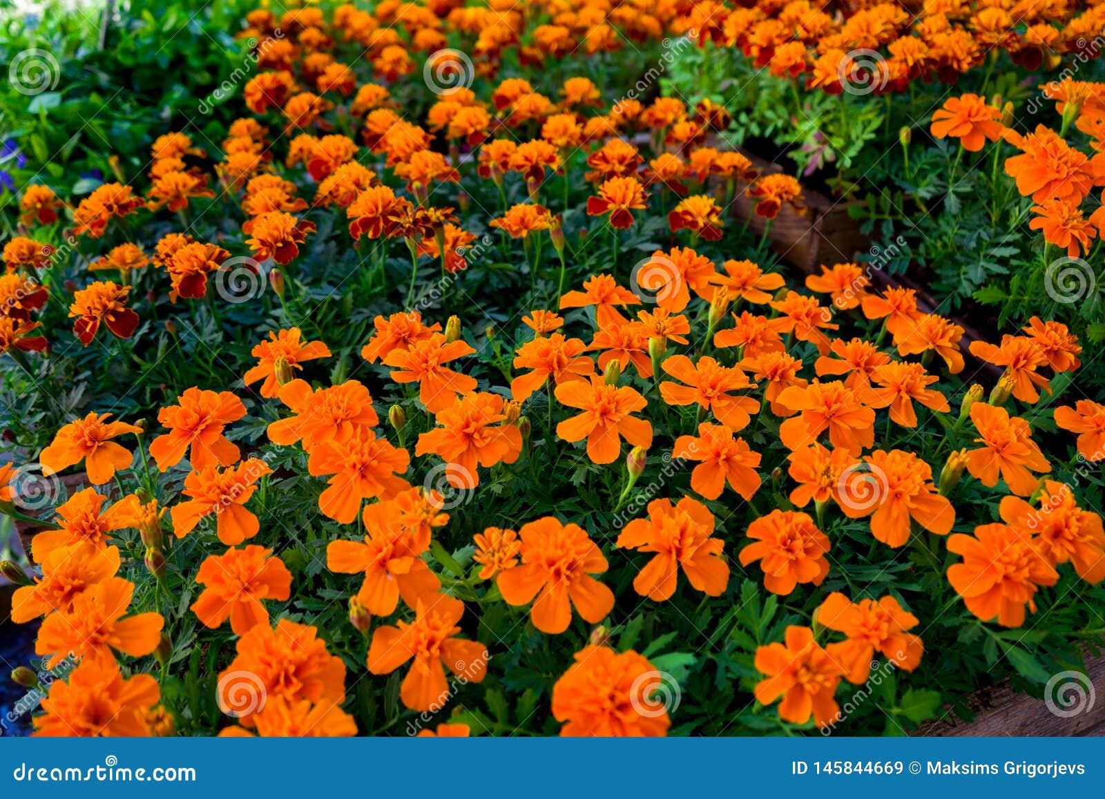 Flores amarelas e alaranjadas do cravo-de-defunto em uns potenci?metros para a venda na exposi??o do mercado do jardim