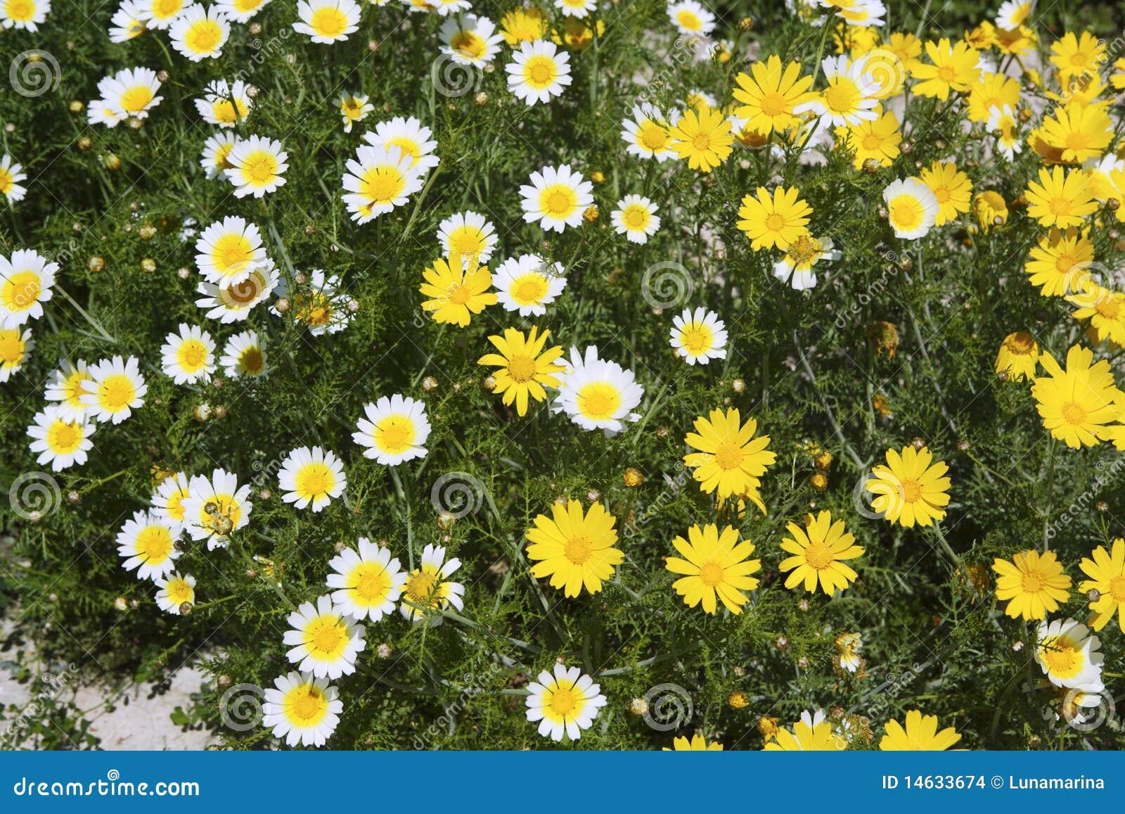 flor de jardim amarela:Flores amarelas e brancas da margarida no fundo do teste padrão do