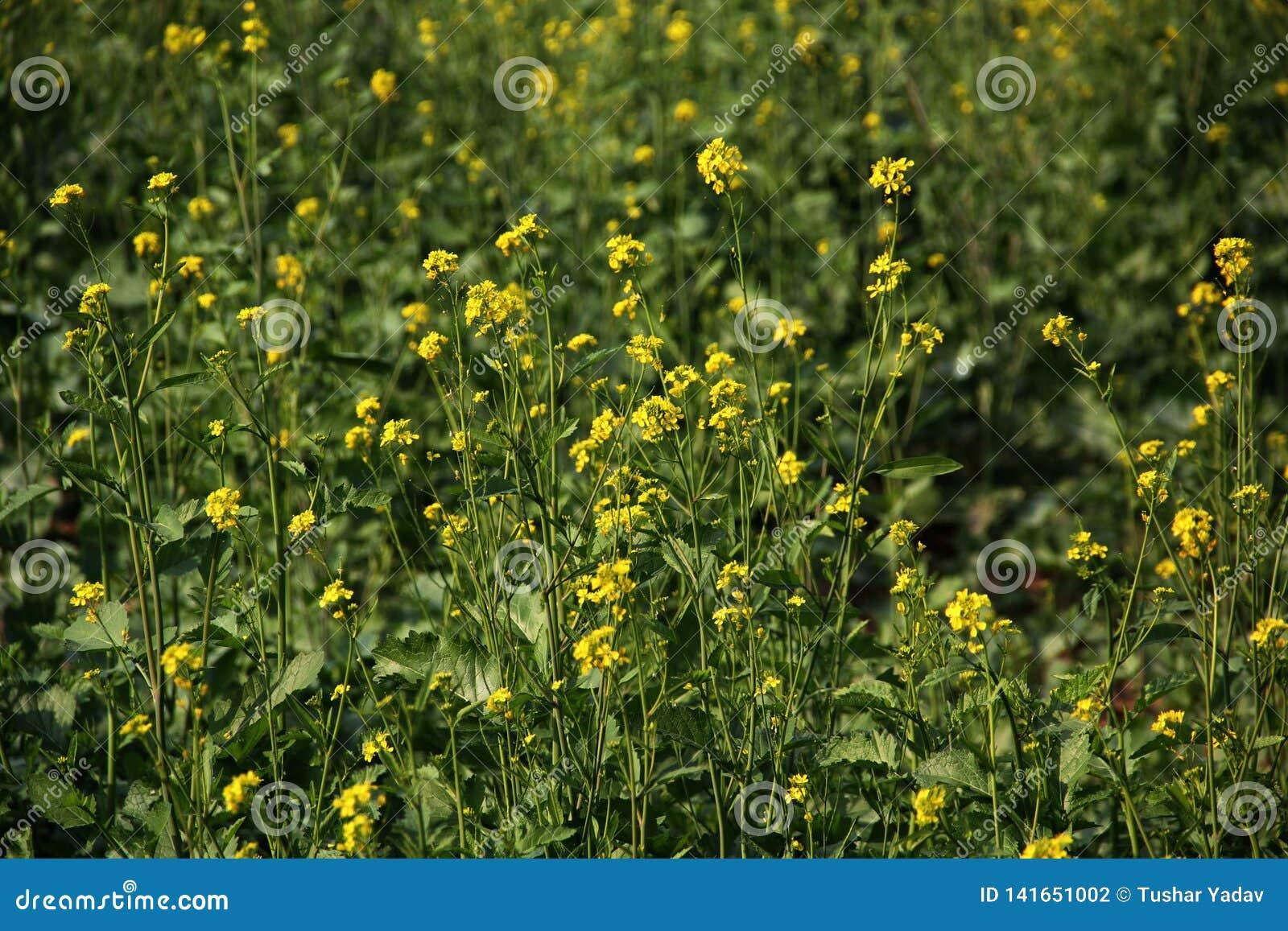 Flores amarelas na exploração agrícola com fundo verde