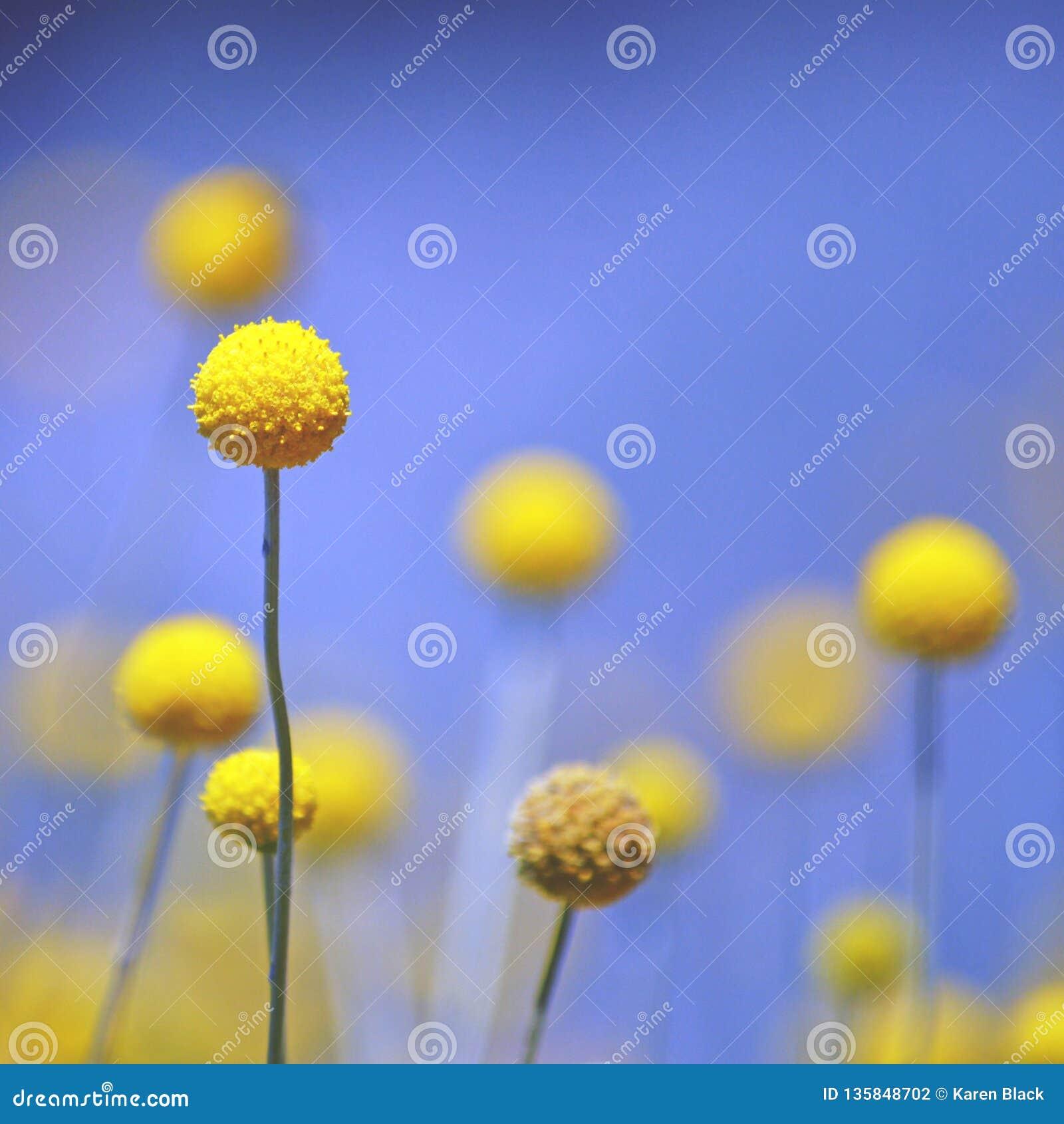 Flores amarelas nativas australianas de Billy Button contra o céu azul