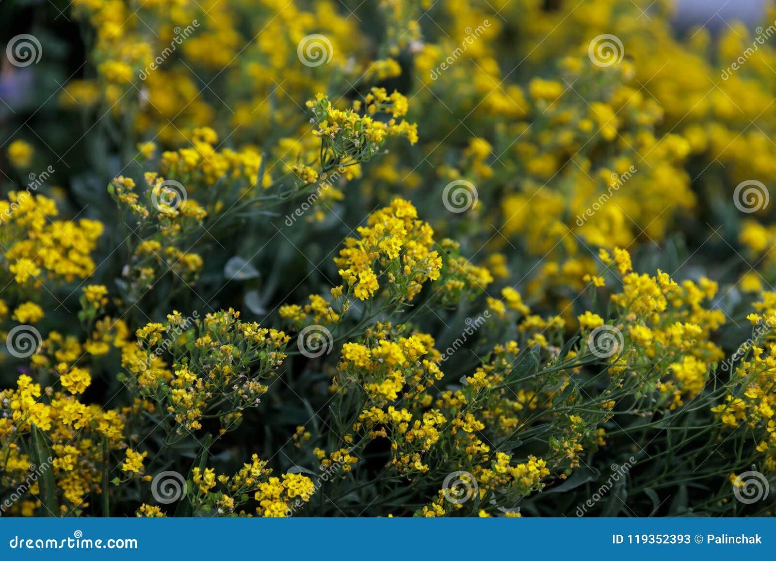 Flores Amarelas Pequenas Do Tempo Dos Saxatilis Do Aurinia Na