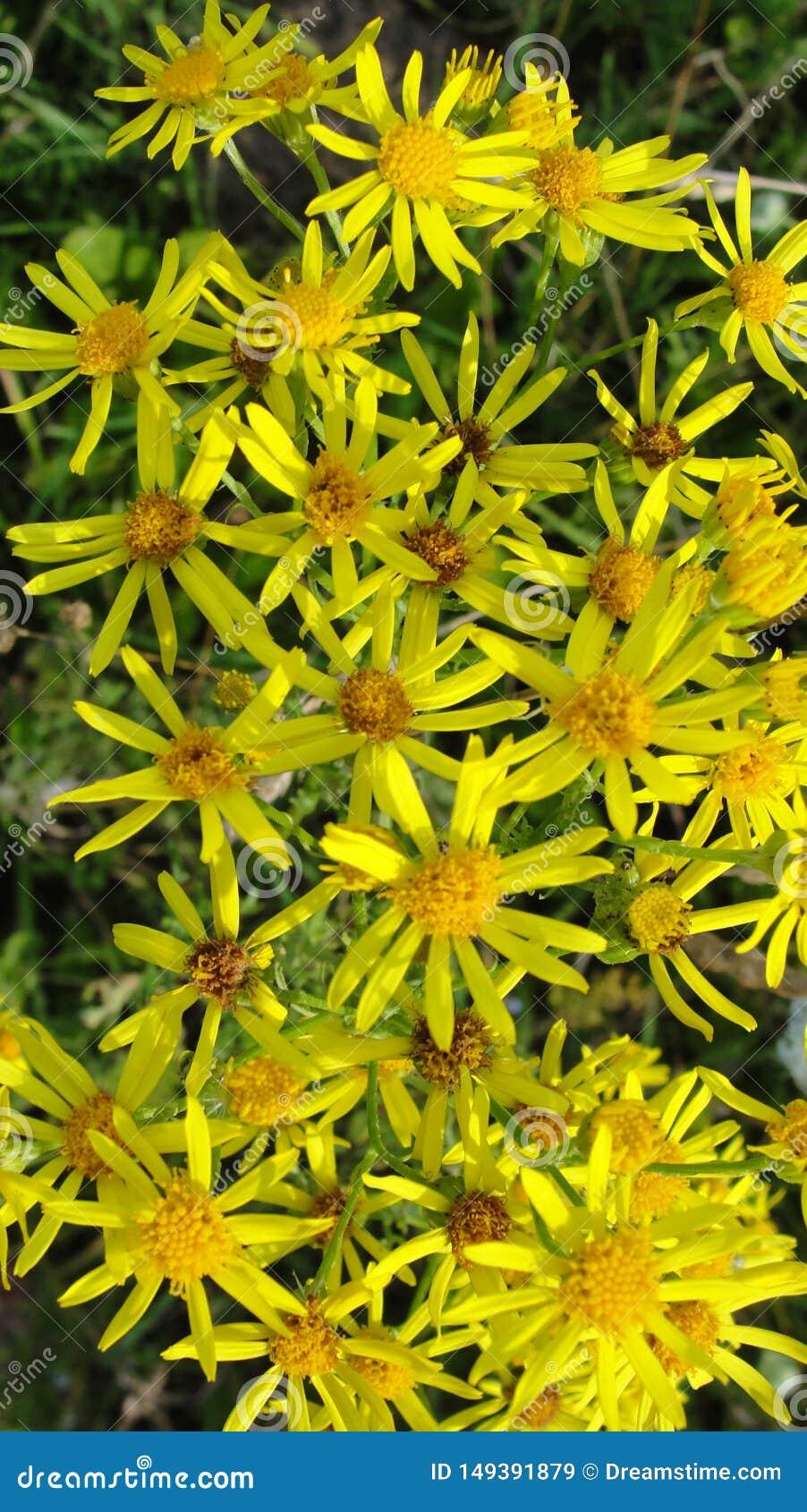 Flores amarelas pequenas felizes em prados mornos do ver?o