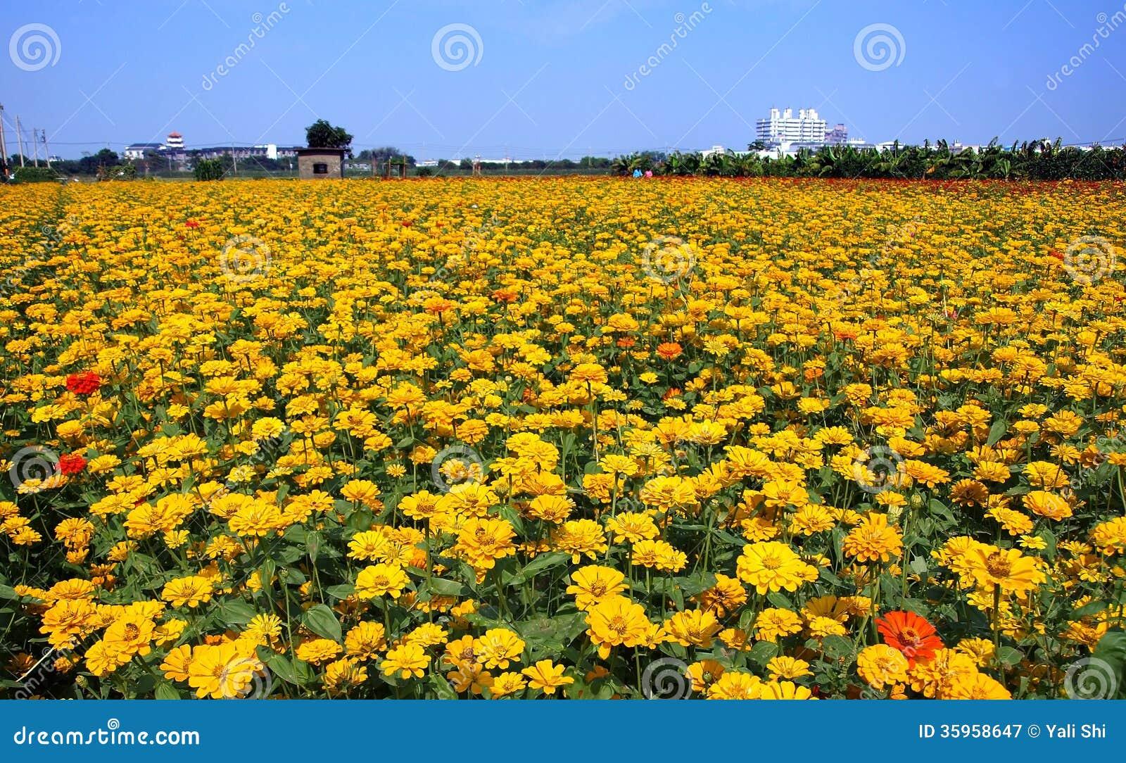 Flores amarillas brillantes de la maravilla