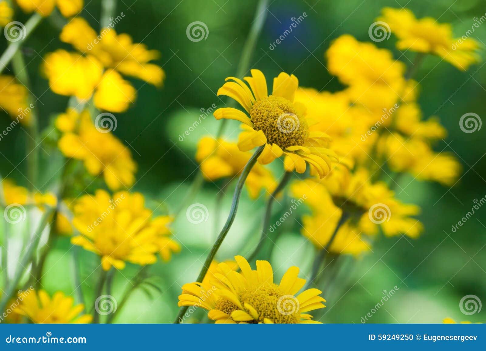 Flores amarillas brillantes del helenium en el jardín