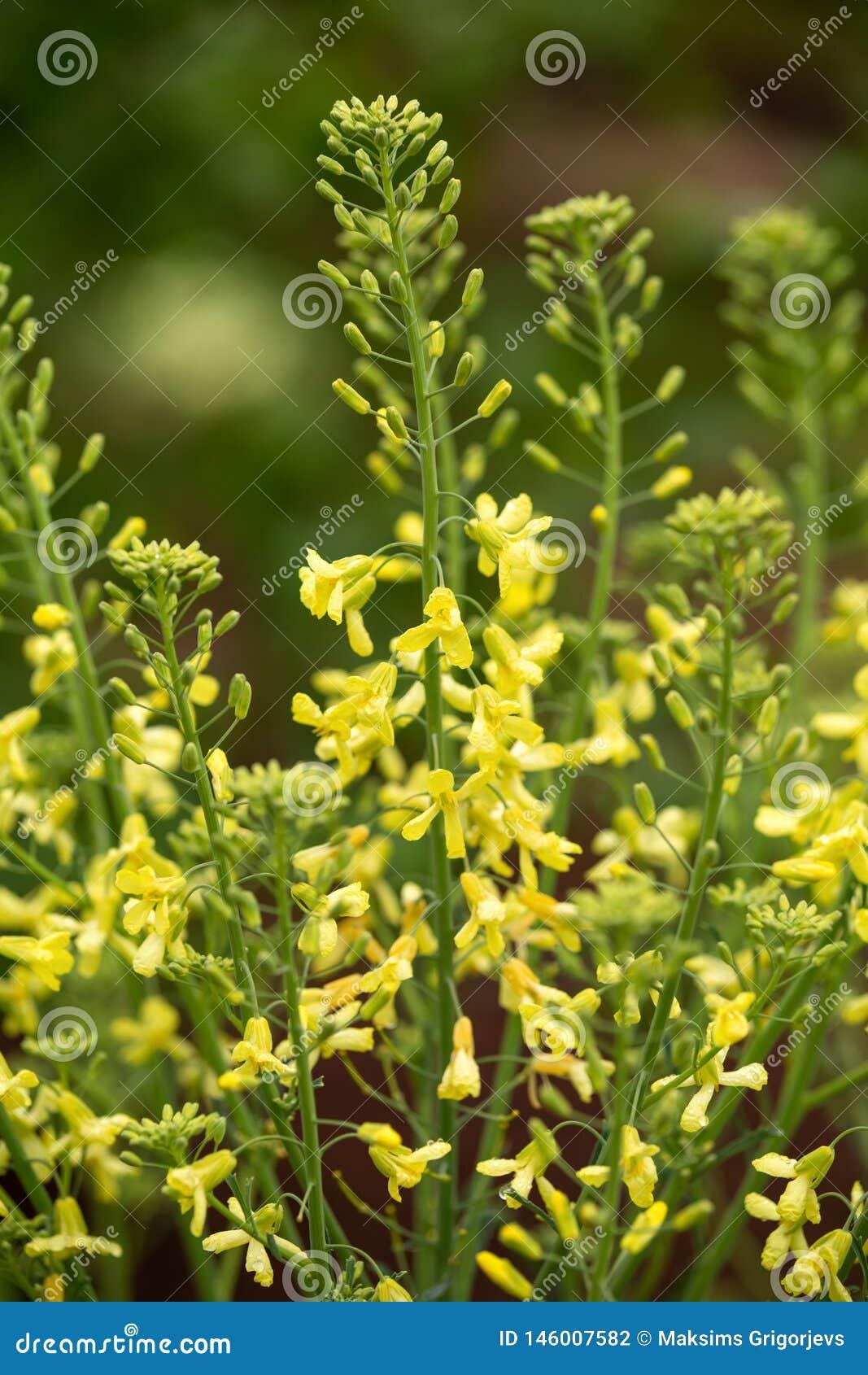 Flores amarillas de la col rizada para la colección siguiente de la semilla en jardín de la primavera