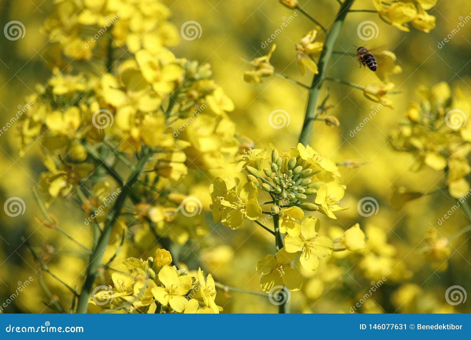 Flores amarillas de la violación con el primer de la abeja del vuelo