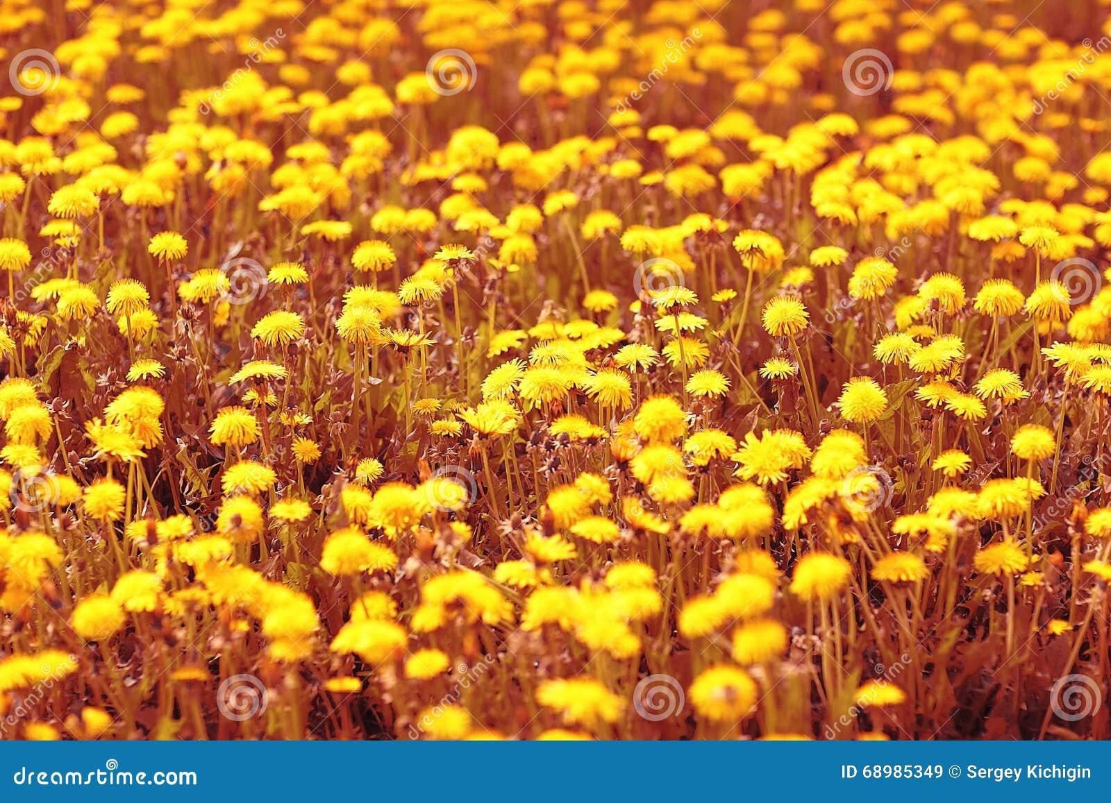 Flores amarillas del diente de león del fondo