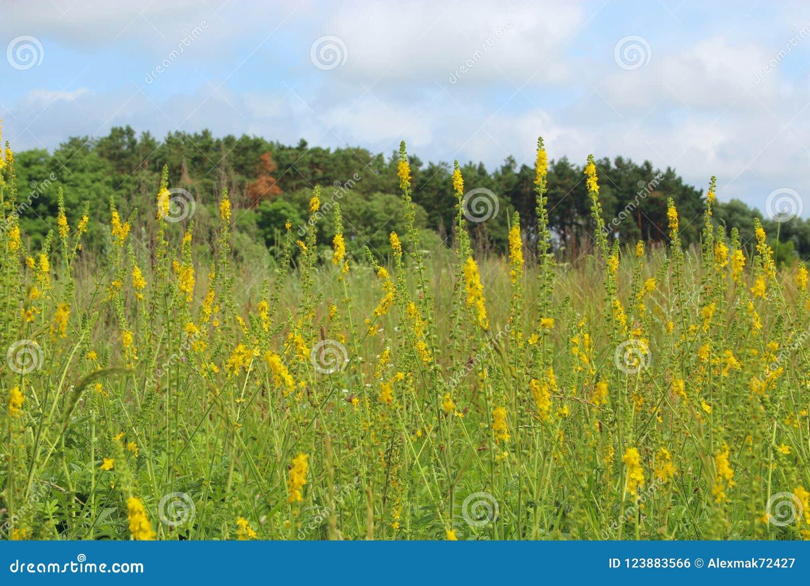 Flores Amarillas Del Eupatoria Del Agrimonia Que Florecen En Campo