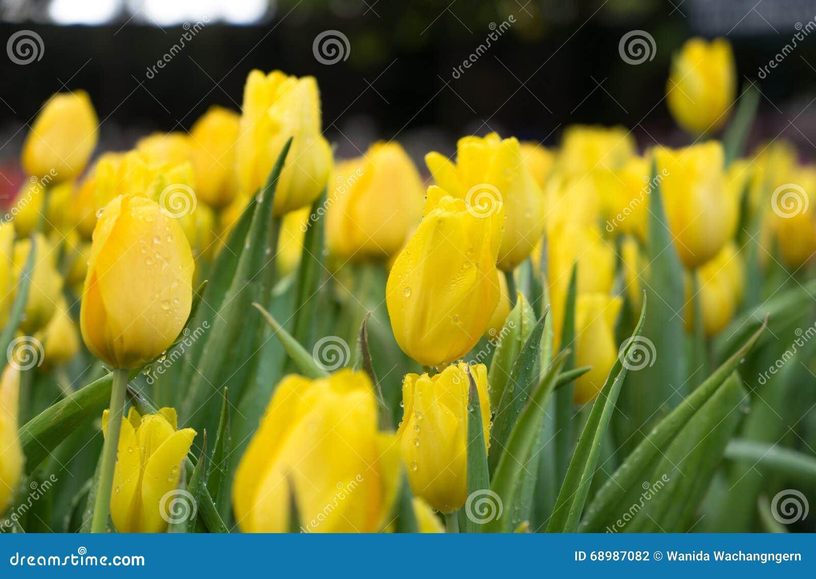 Flores amarillas del tulipán que florecen en el jardín