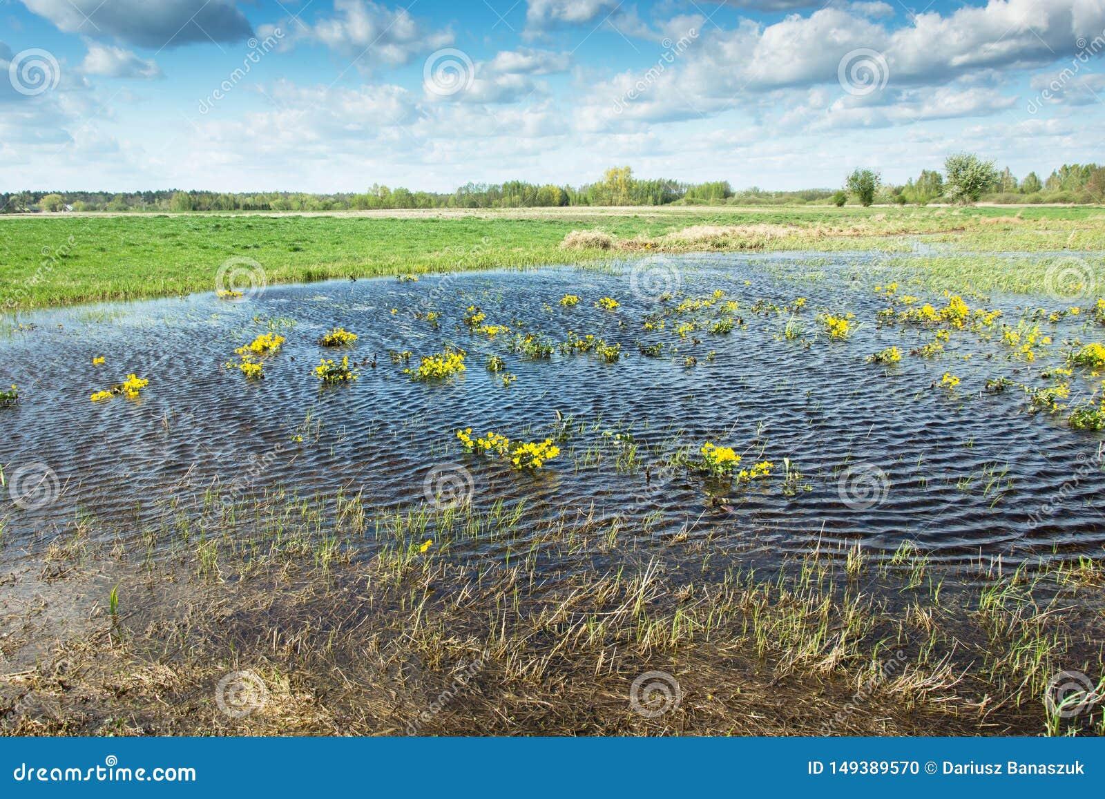 Flores amarillas en agua en el prado, nubes blancas en el cielo azul