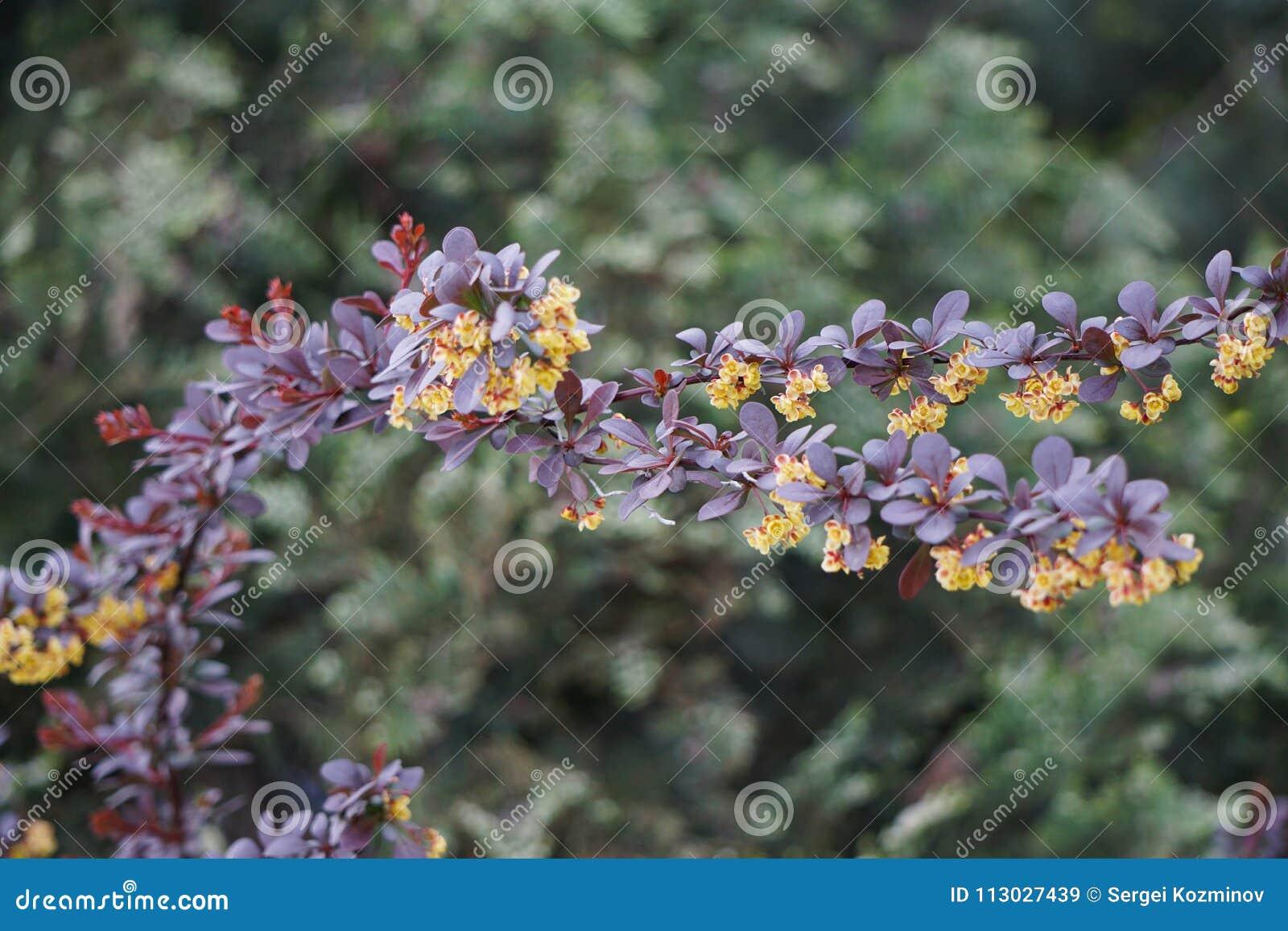 Flores amarillas en un thunbergii del Berberis de la rama