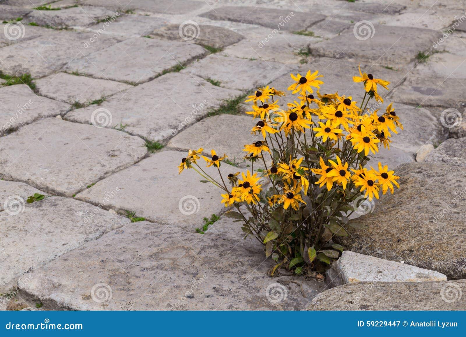 Download Flores Amarillas Florecientes En El Pavimento De Piedra Imagen de archivo - Imagen de ciudad, arbusto: 59229447