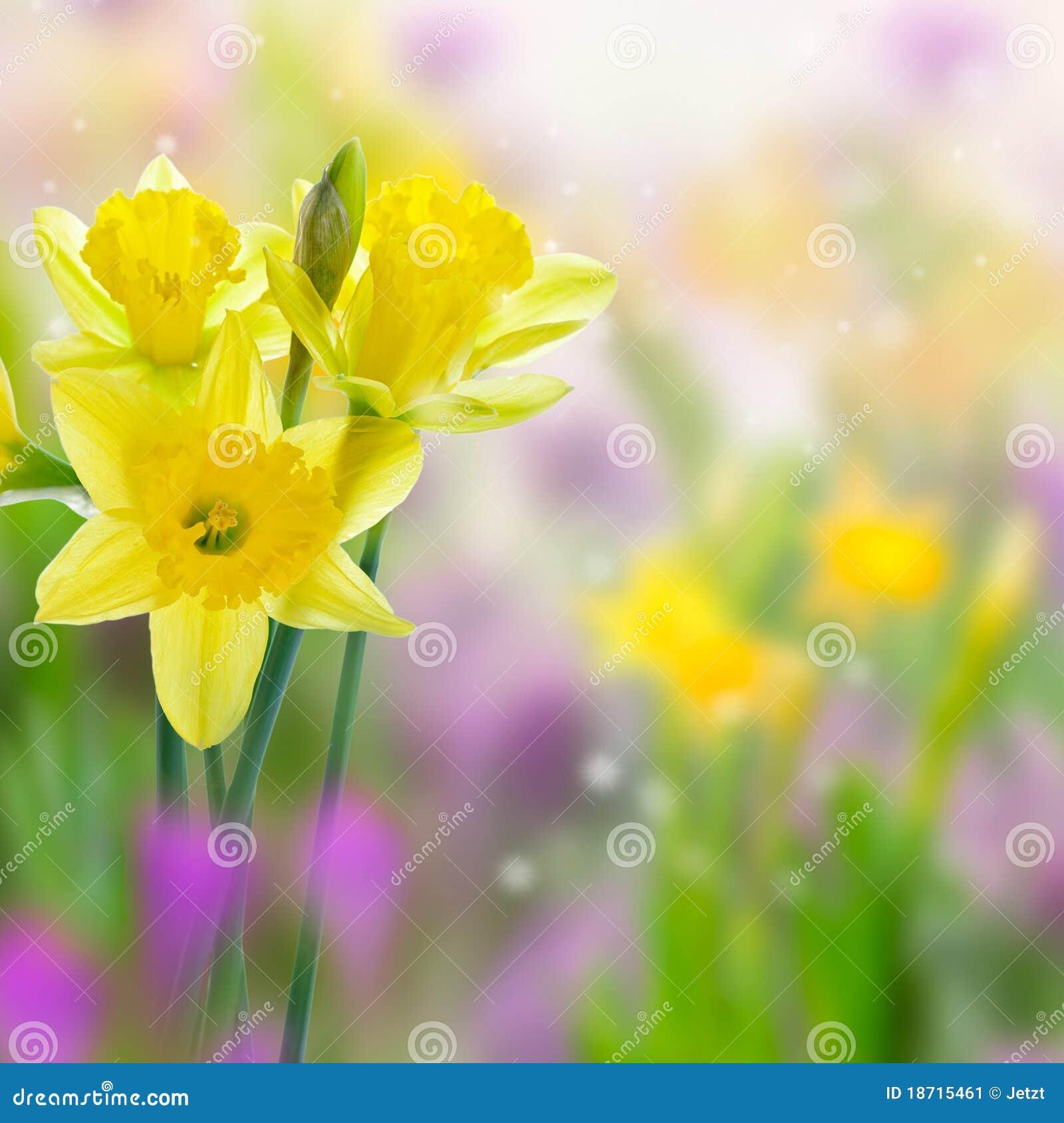 Flores amarillas hermosas del narciso