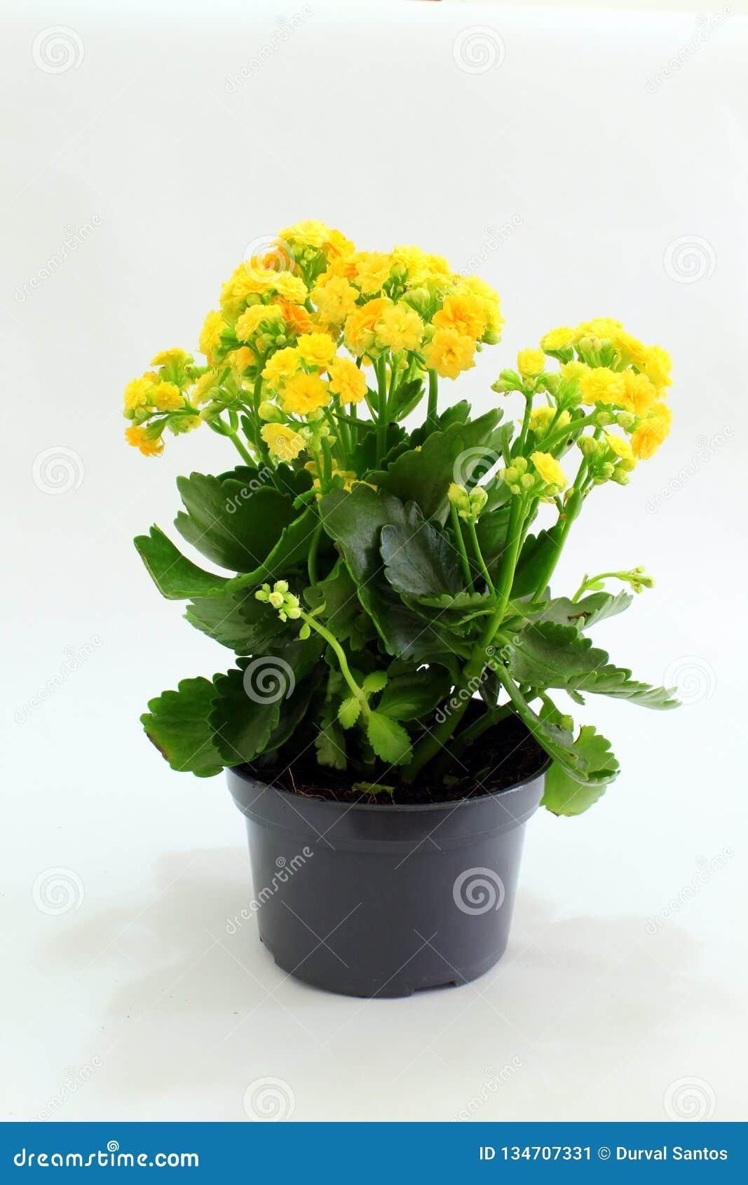 Flores amarillas para la ornamentación
