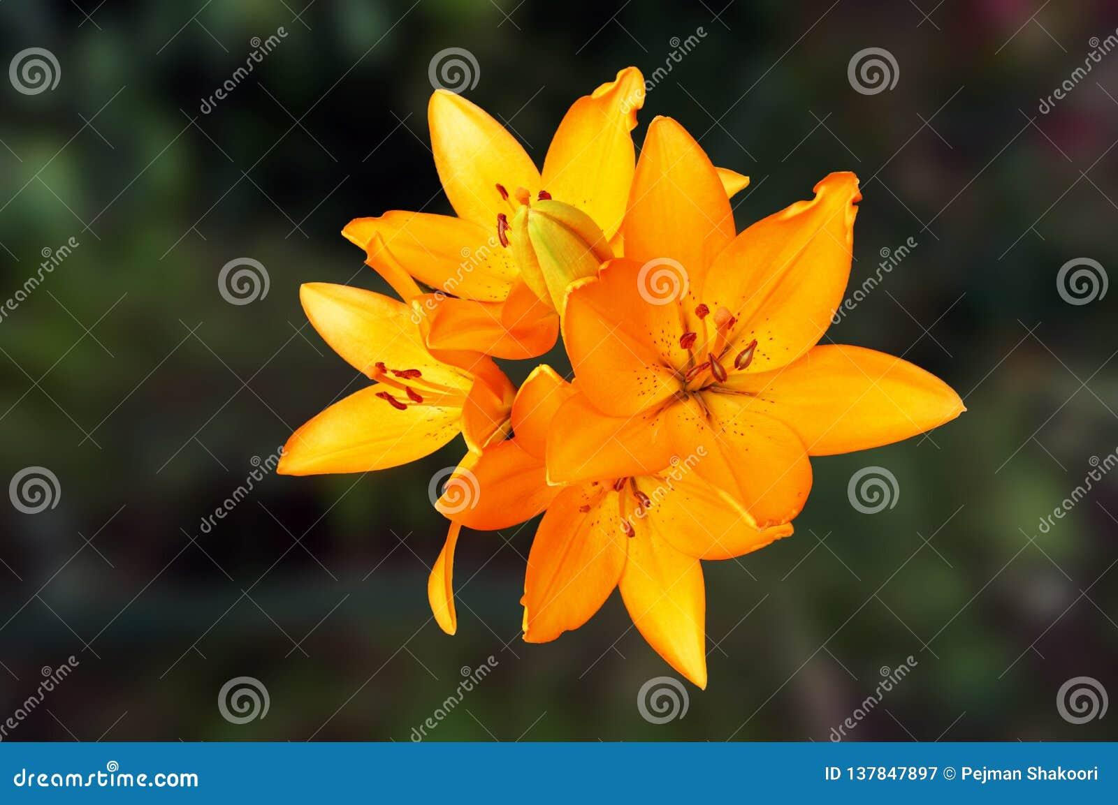 Flores amarillas y anaranjadas del lirio peruano del color