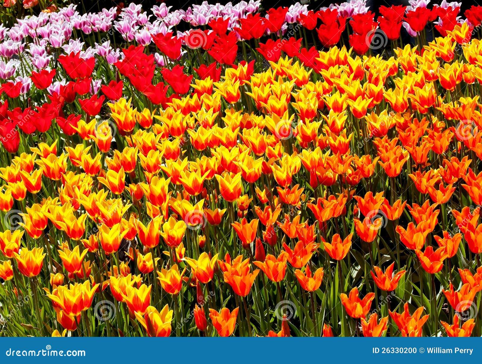 Flores amarillo naranja rojas skagit washington de los - Amarillo naranja ...