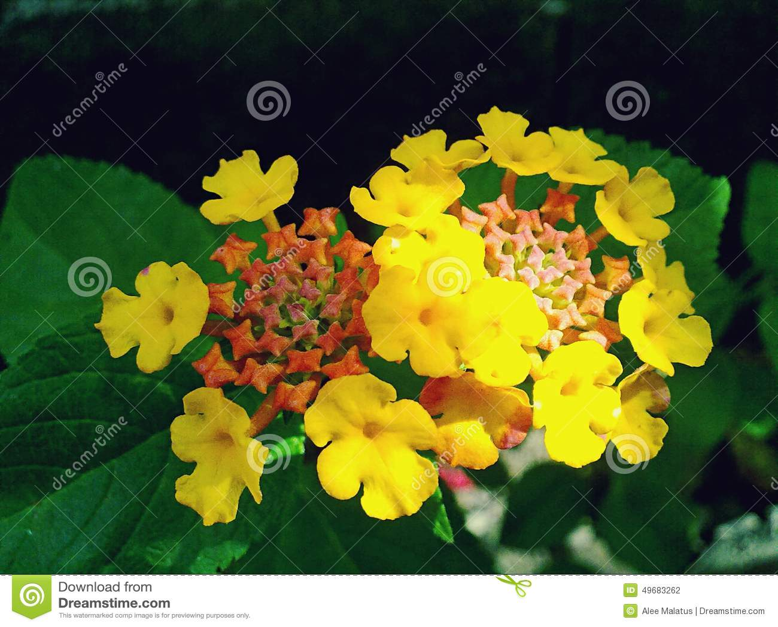 Flores amarillo naranja y rojas foto de archivo imagen - Amarillo naranja ...