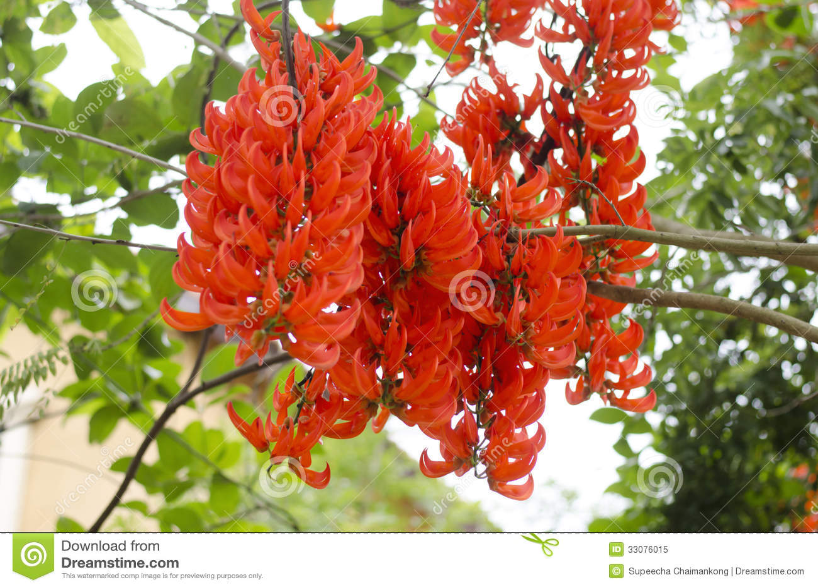Flores Anaranjadas De La Enredadera De Nueva Guinea Imagen De