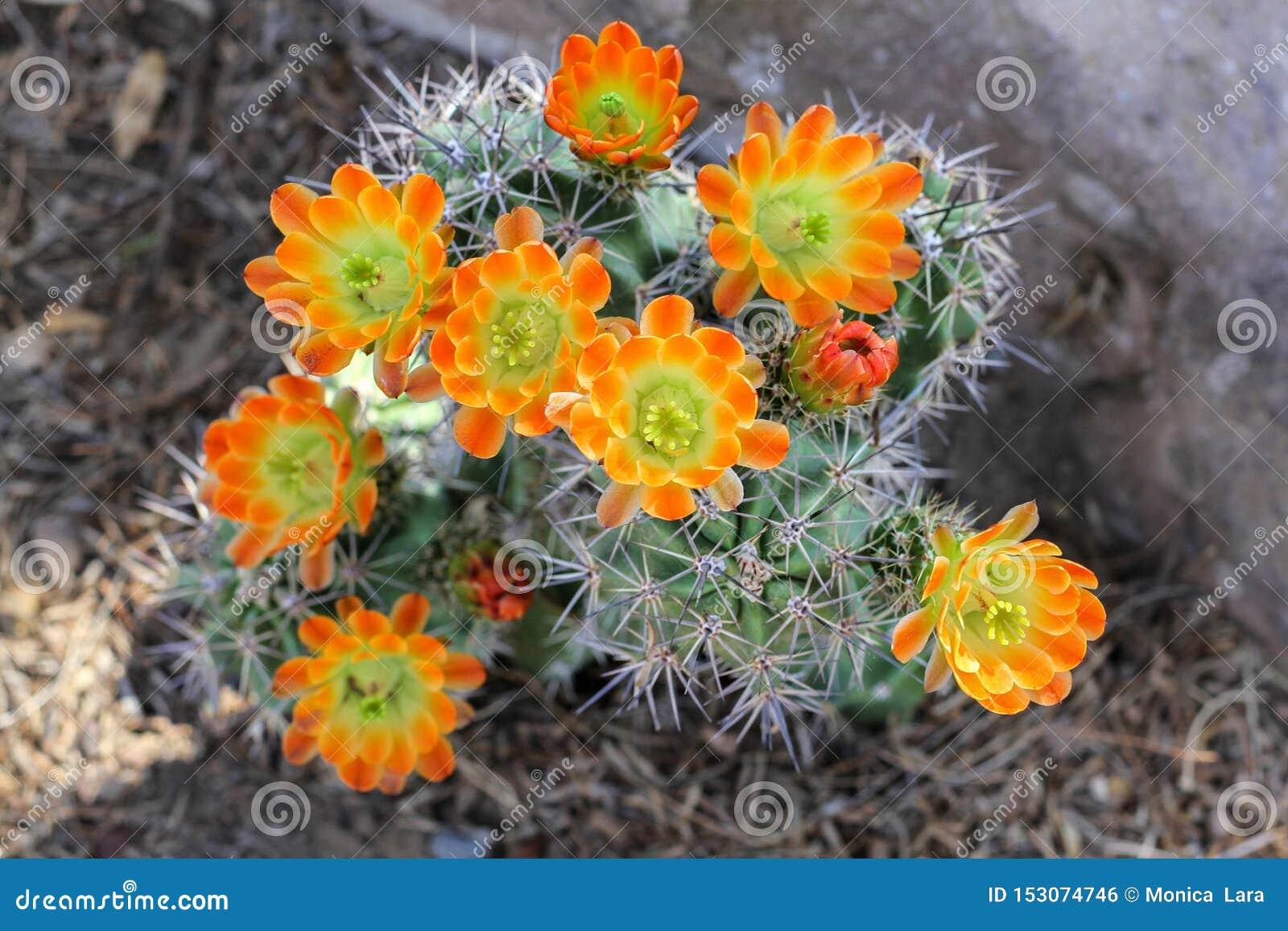 Flores anaranjadas del cactus en la floraci?n