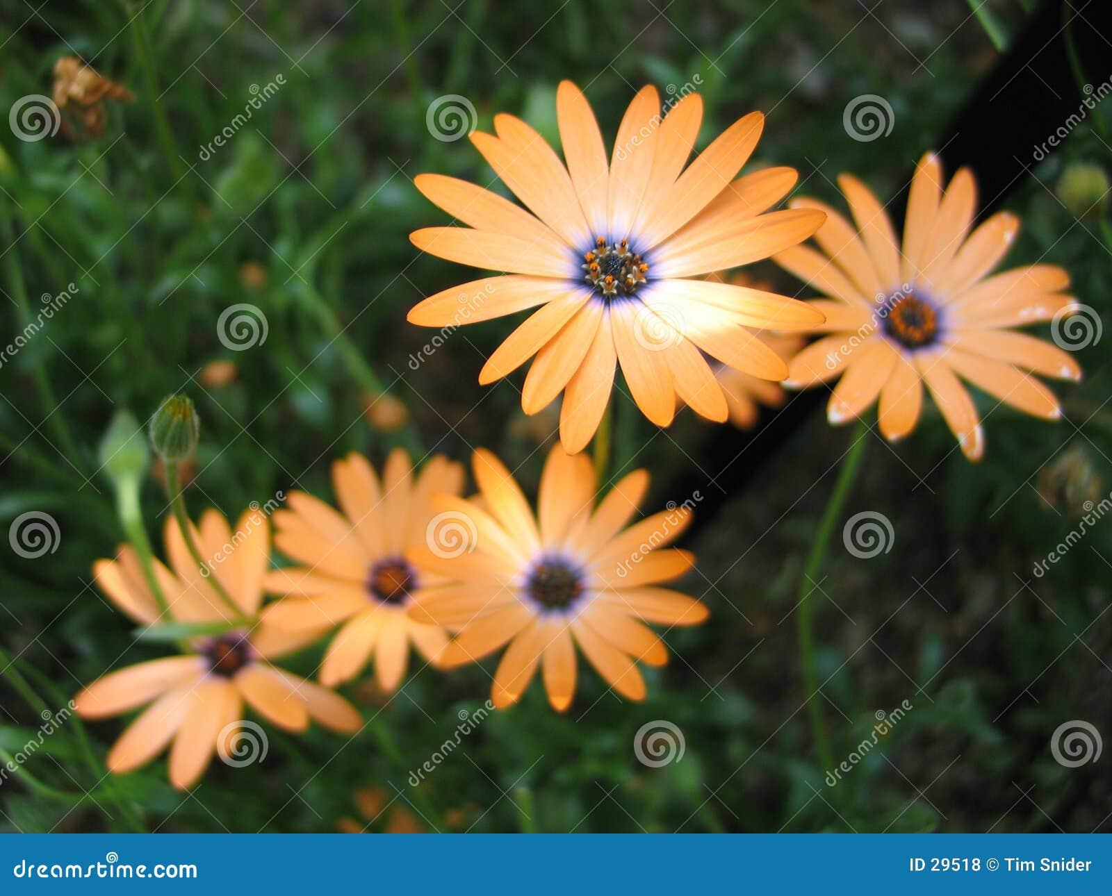 Flores anaranjadas múltiples