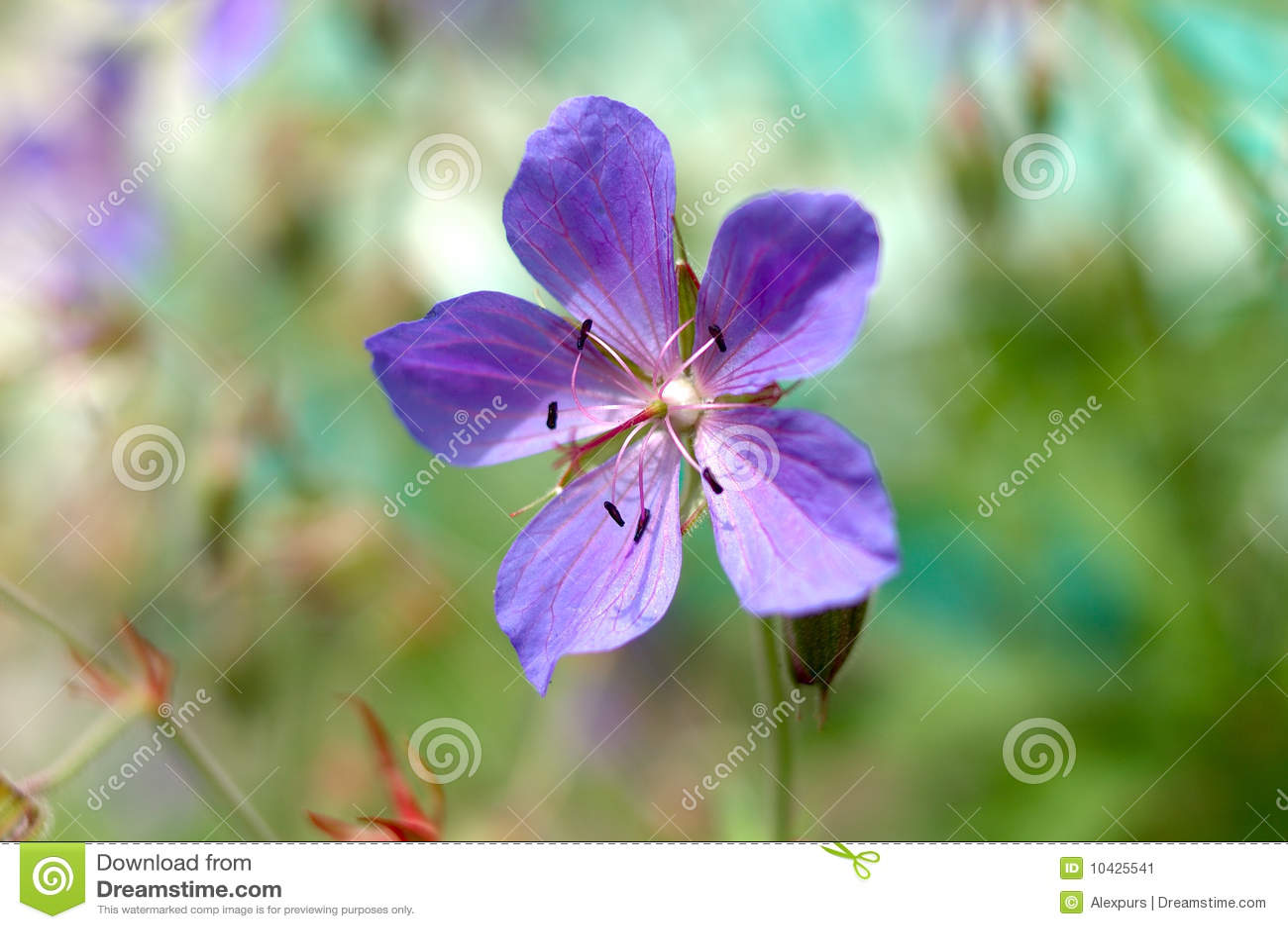 flores jardim do mar:Flores Azuis Do Jardim. Imagem de Stock – Imagem: 10425541