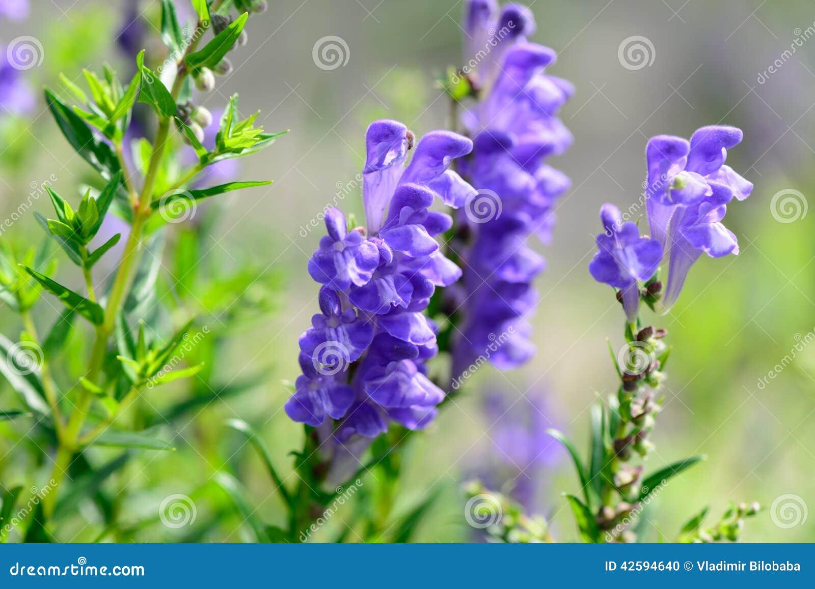 flores para jardim verao : flores para jardim verao:As flores azuis brilhantes do jardim do verão fecham-se acima, fundos