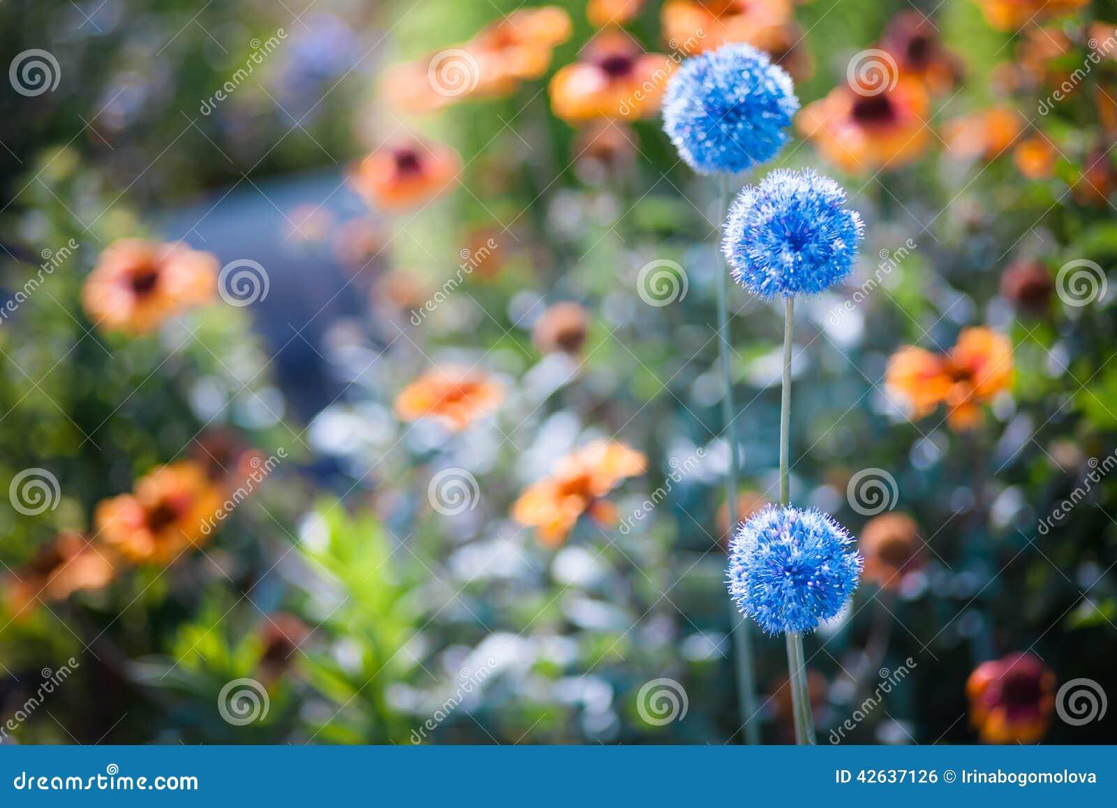 flores para jardim verao : flores para jardim verao:Flores Azuis Em Um Jardim Do Verão Foto de Stock – Imagem: 42637126