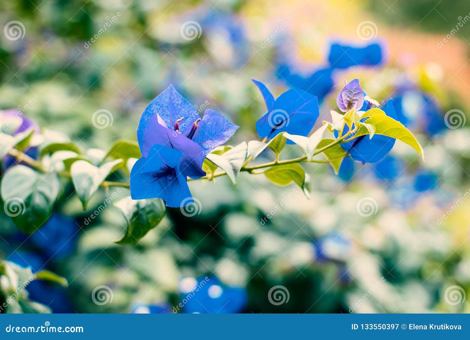 Flores azules de la buganvilla en una rama