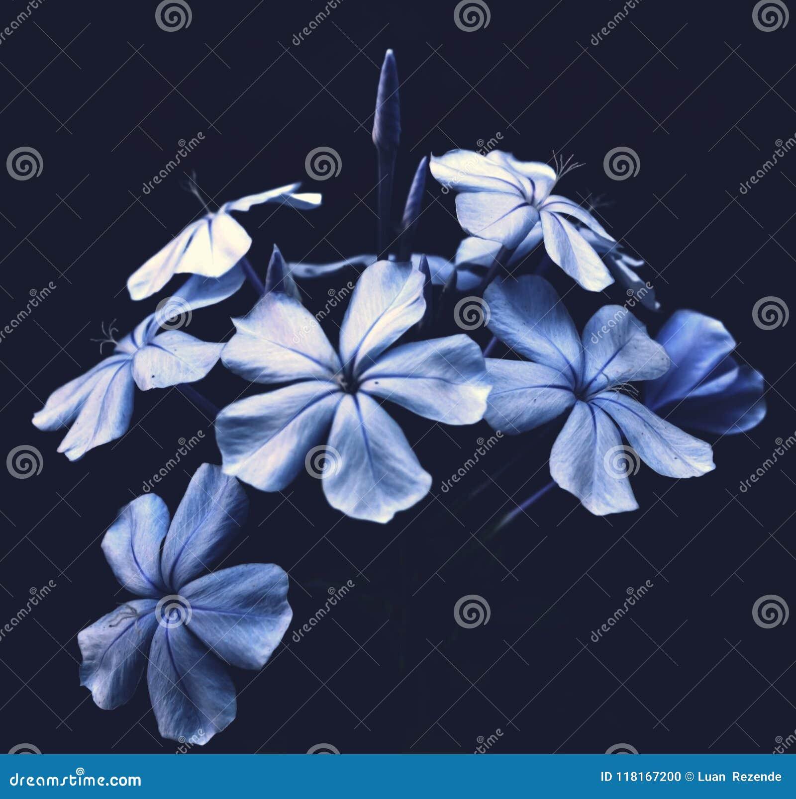 Flores Azules En Fondo Negro Foto De Archivo Imagen De Gota