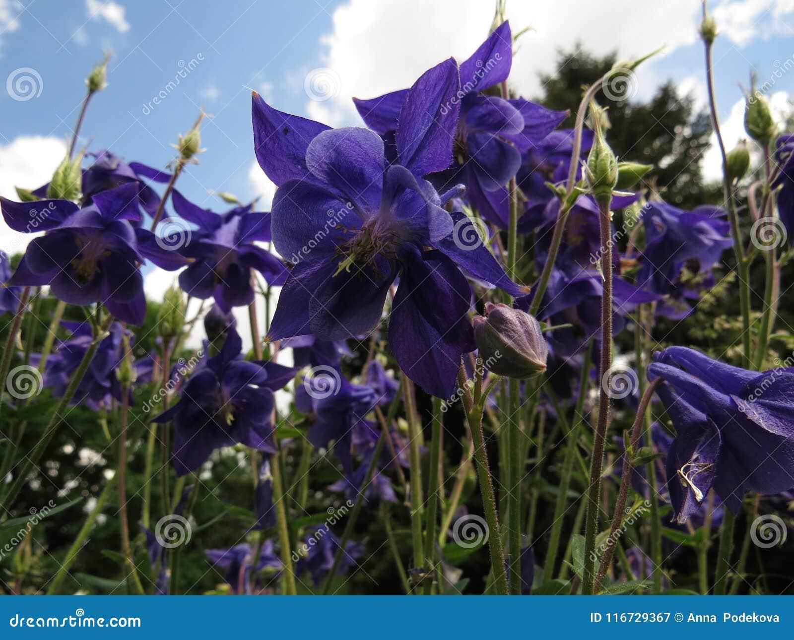 Flores azules en primavera Aquilegia o el capo o la aguileña de la abuelita