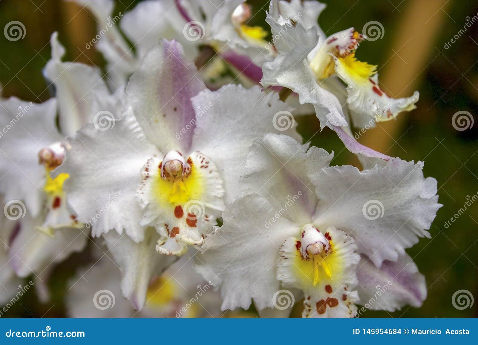Flores blancas, amarillas y rojas de la orquídea del odontoglossum