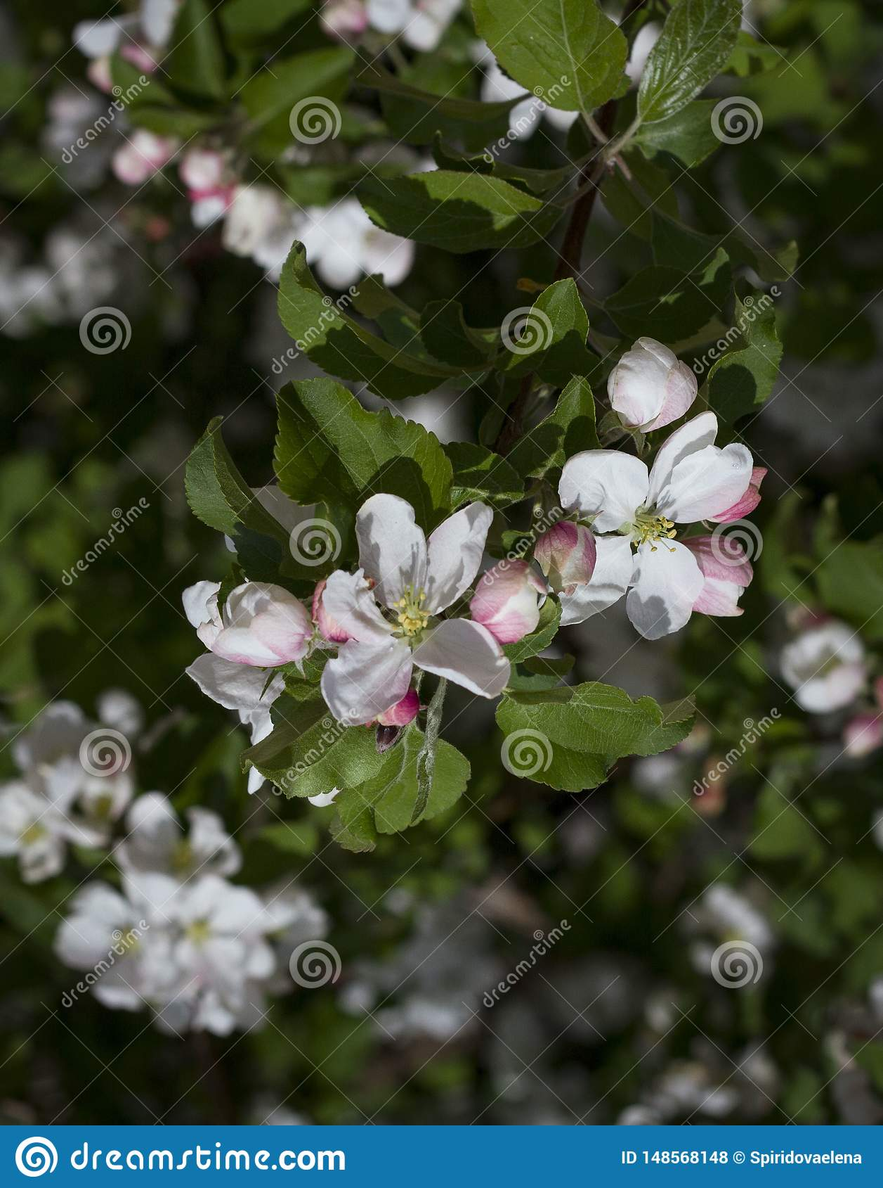 Flores blancas de la cereza y de la hoja